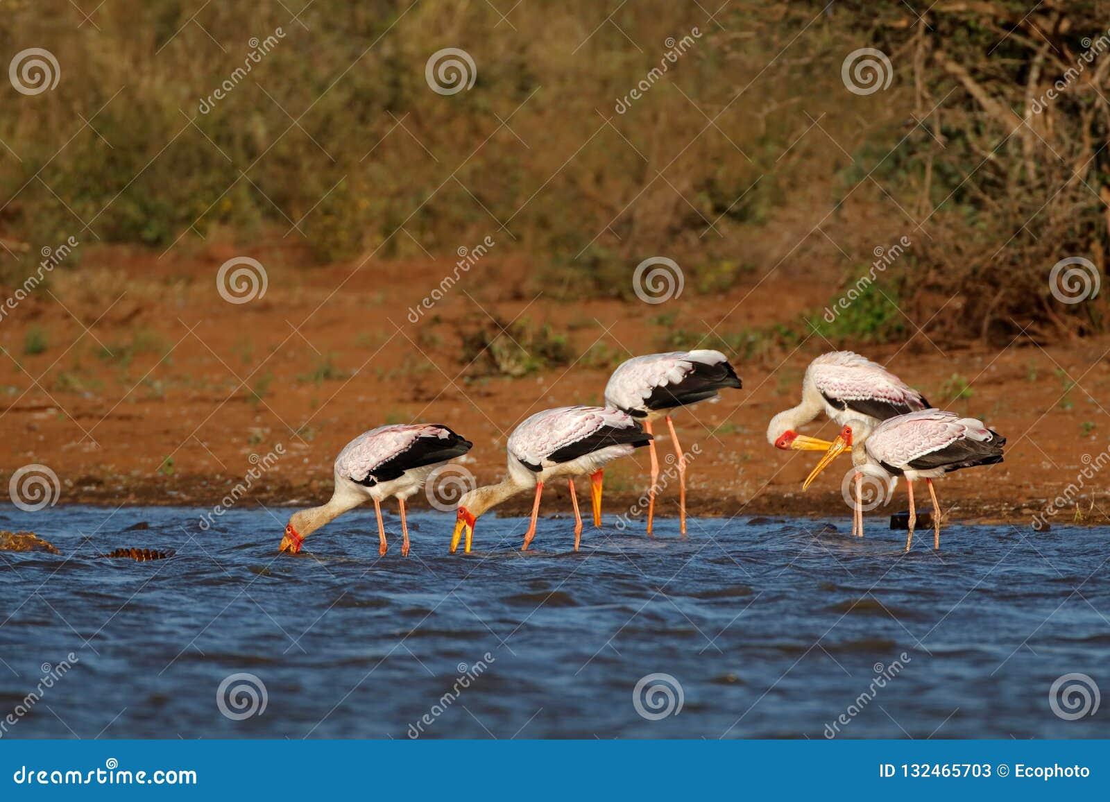 Cigognes Jaune-affichées forageant - parc national de Kruger
