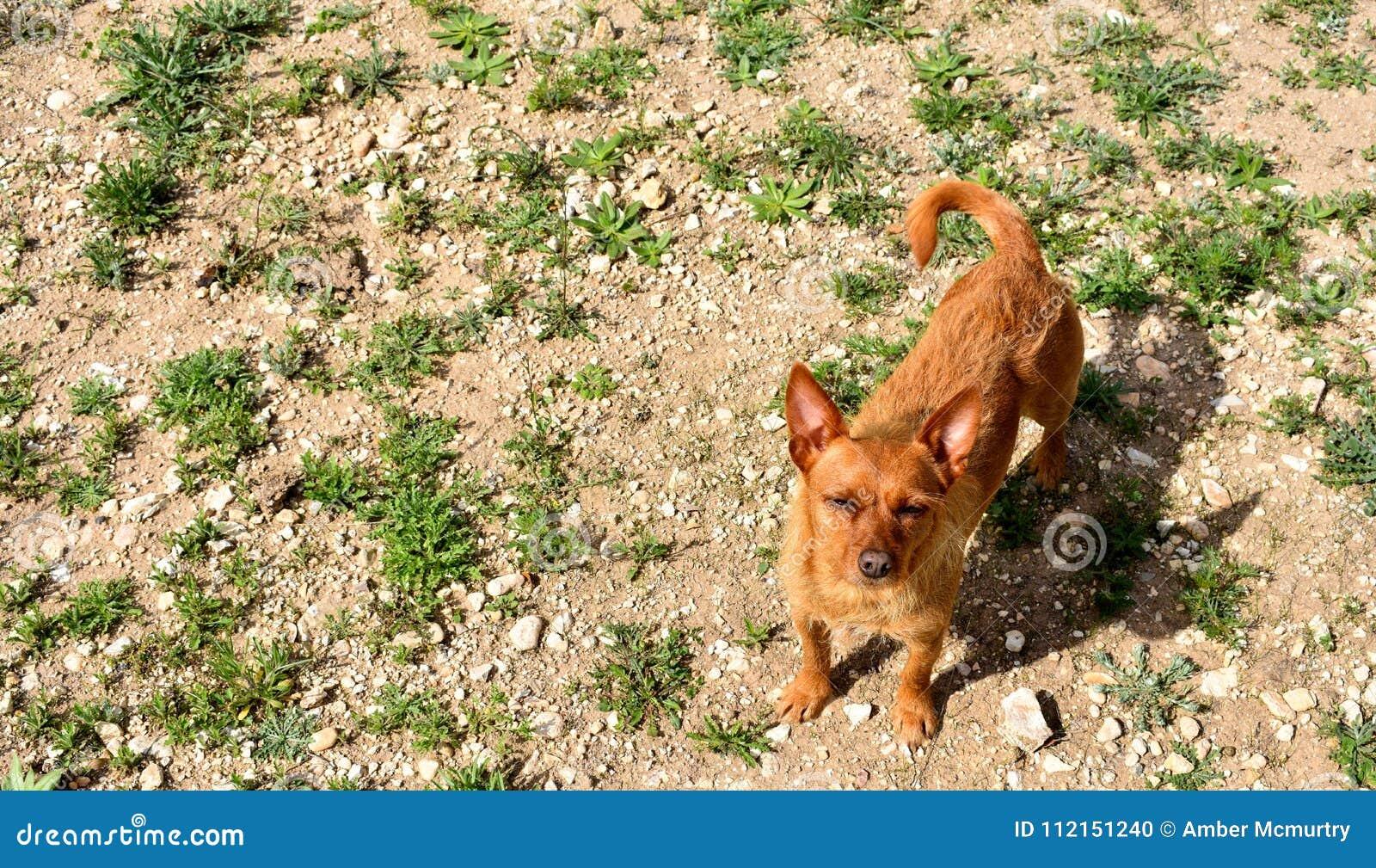 Cihuahua-Ranchhund