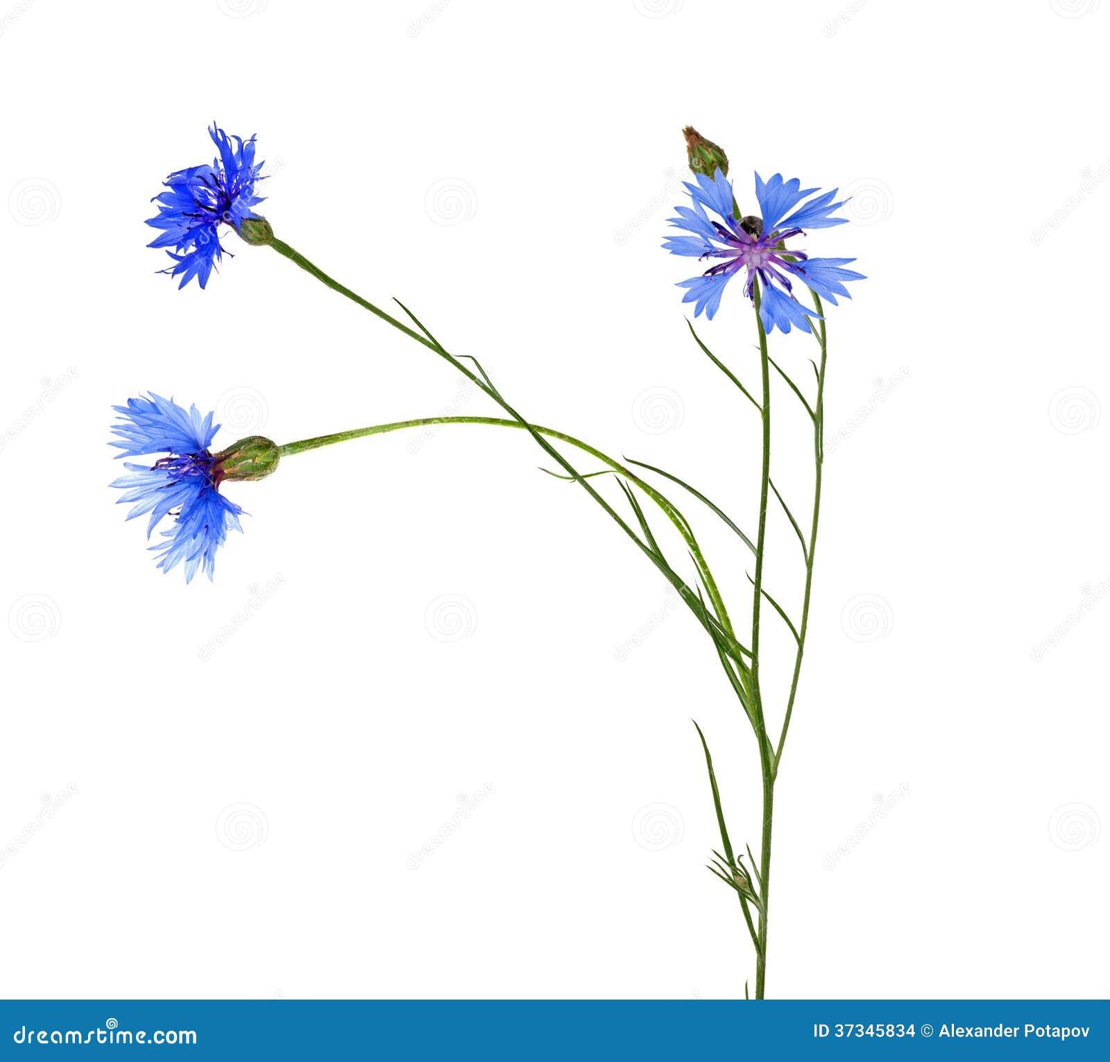 Cikoria med tre blåa blommor