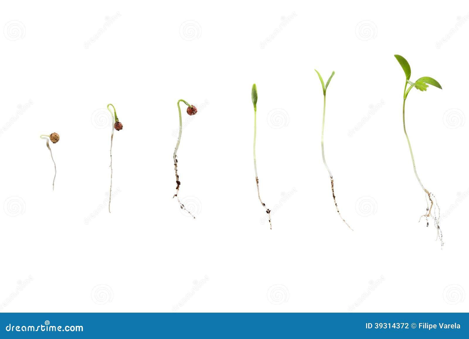 Cilantro nasieniodajny kiełkowanie odizolowywający na bielu w różnych scenach