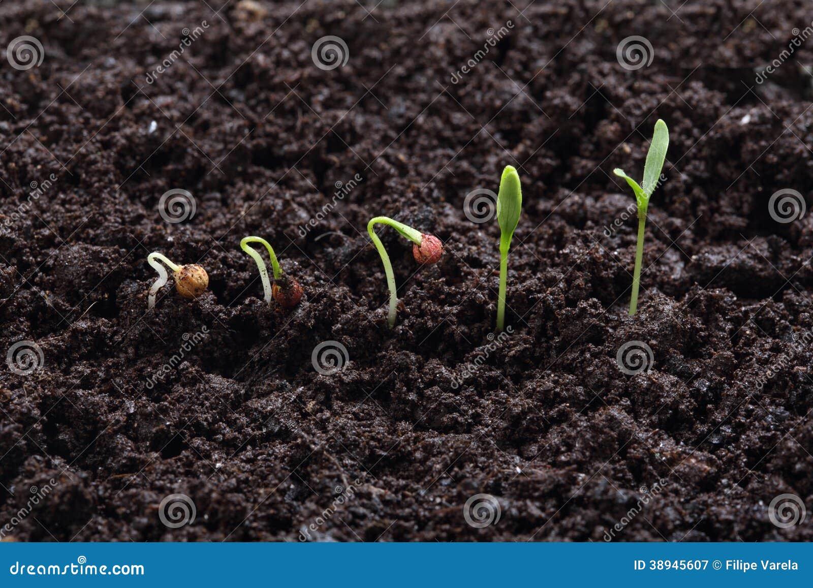 Cilantro (pietruszka) rośliny kiełkowanie