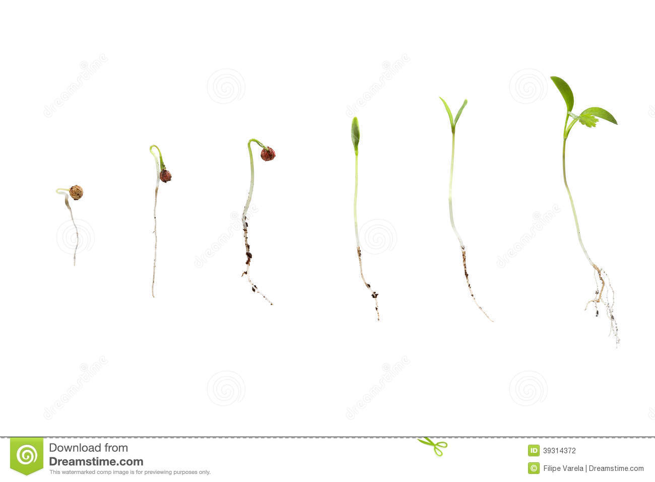 Stock Photography Cilantro Seed Germination Isolated White Different Stages Image39314372 on Plant Life Cycle Print