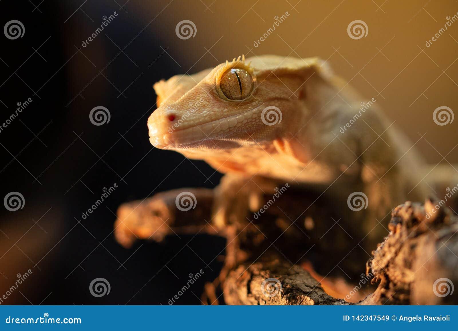 Ciliatus ou gecko Crestate de Correlophus