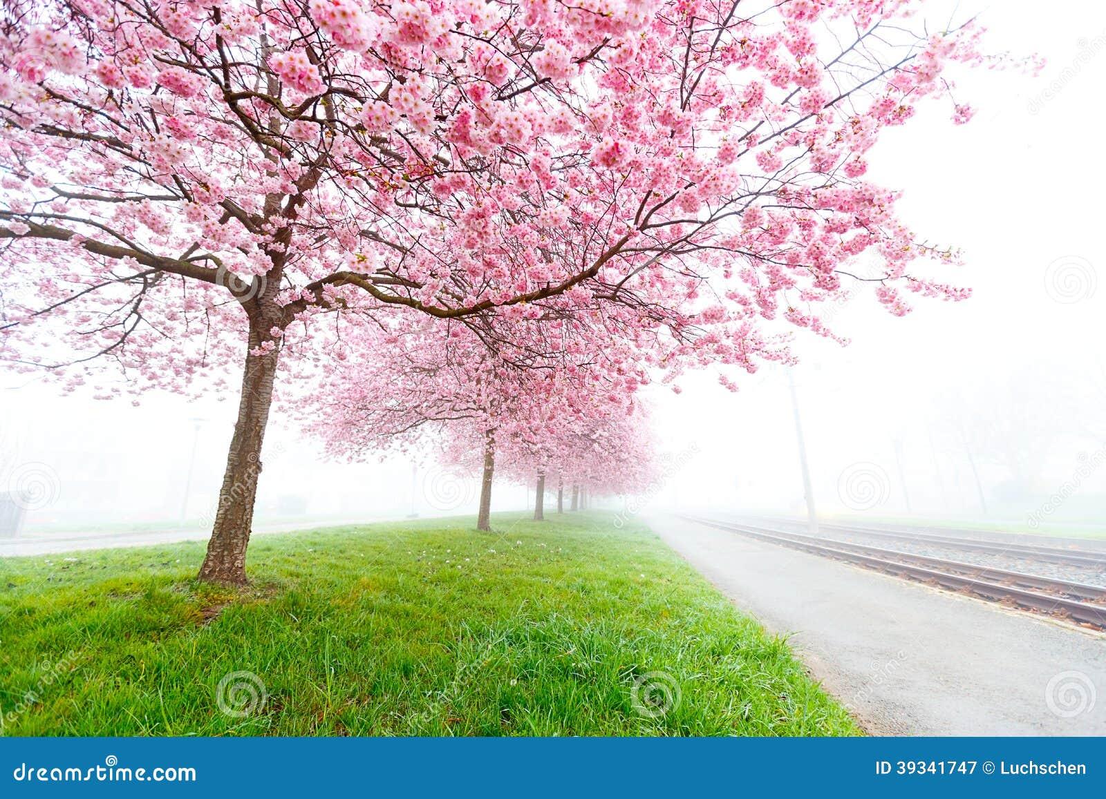 Ciliegia di fioritura alberi di sakura immagine stock for Alberi da frutto prezzi