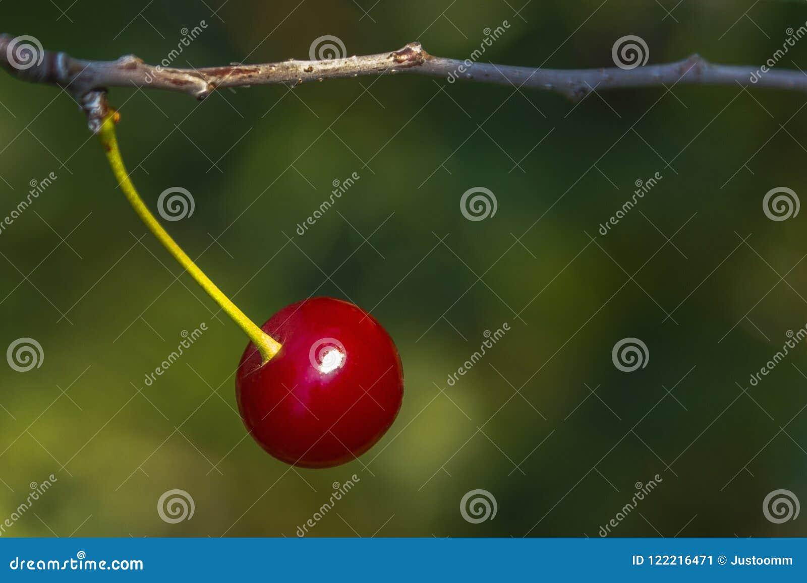 Ciliegia su un ramo