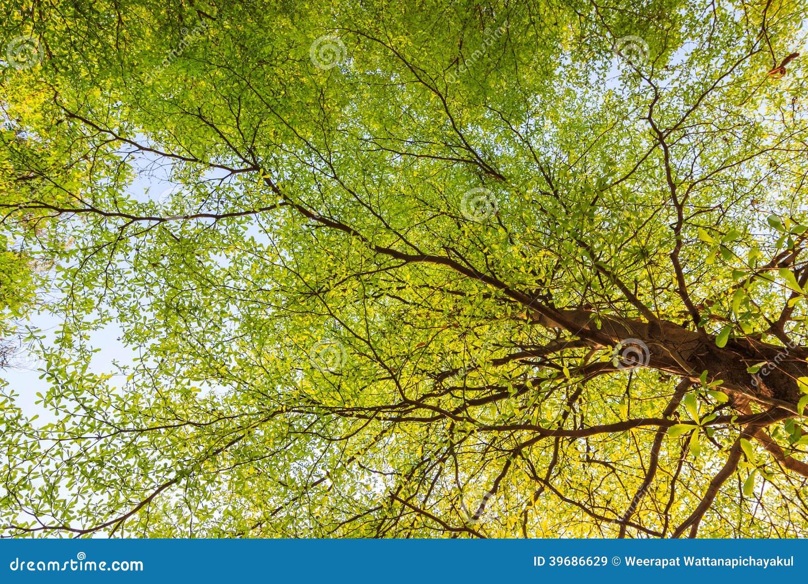 En haut Cime d'arbre d'été image stock. Image du lumineux, forêt - 39686629 @RU_51