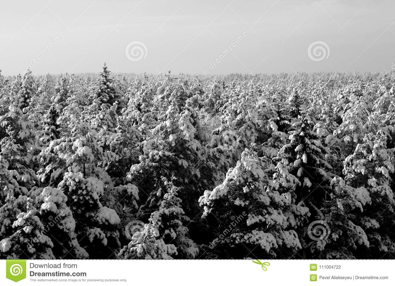 Cime Del Pino Coperte Di Neve In Bianco E Nero Fotografia Stock
