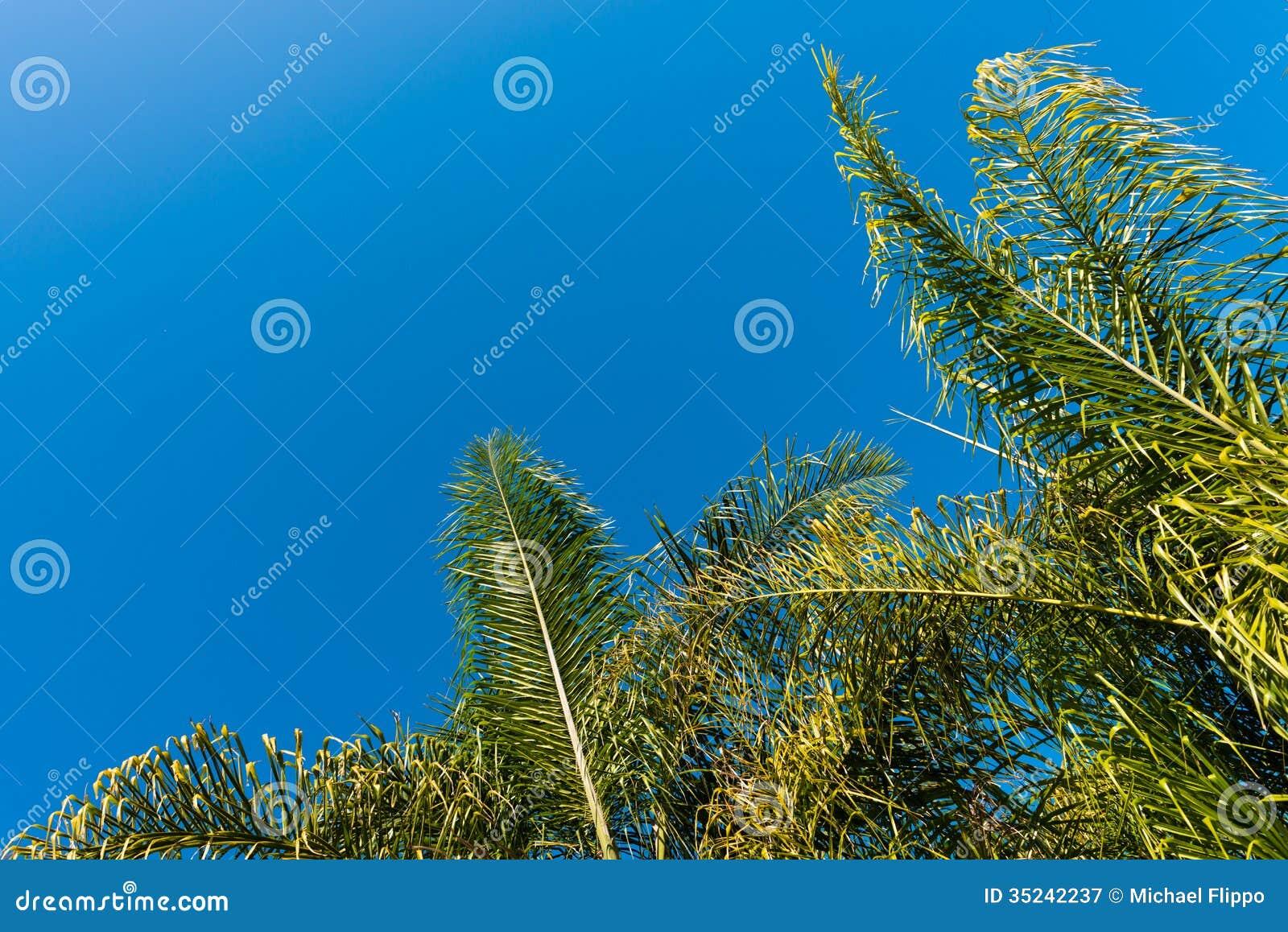 Cime delle palme verdi con un fondo del cielo blu