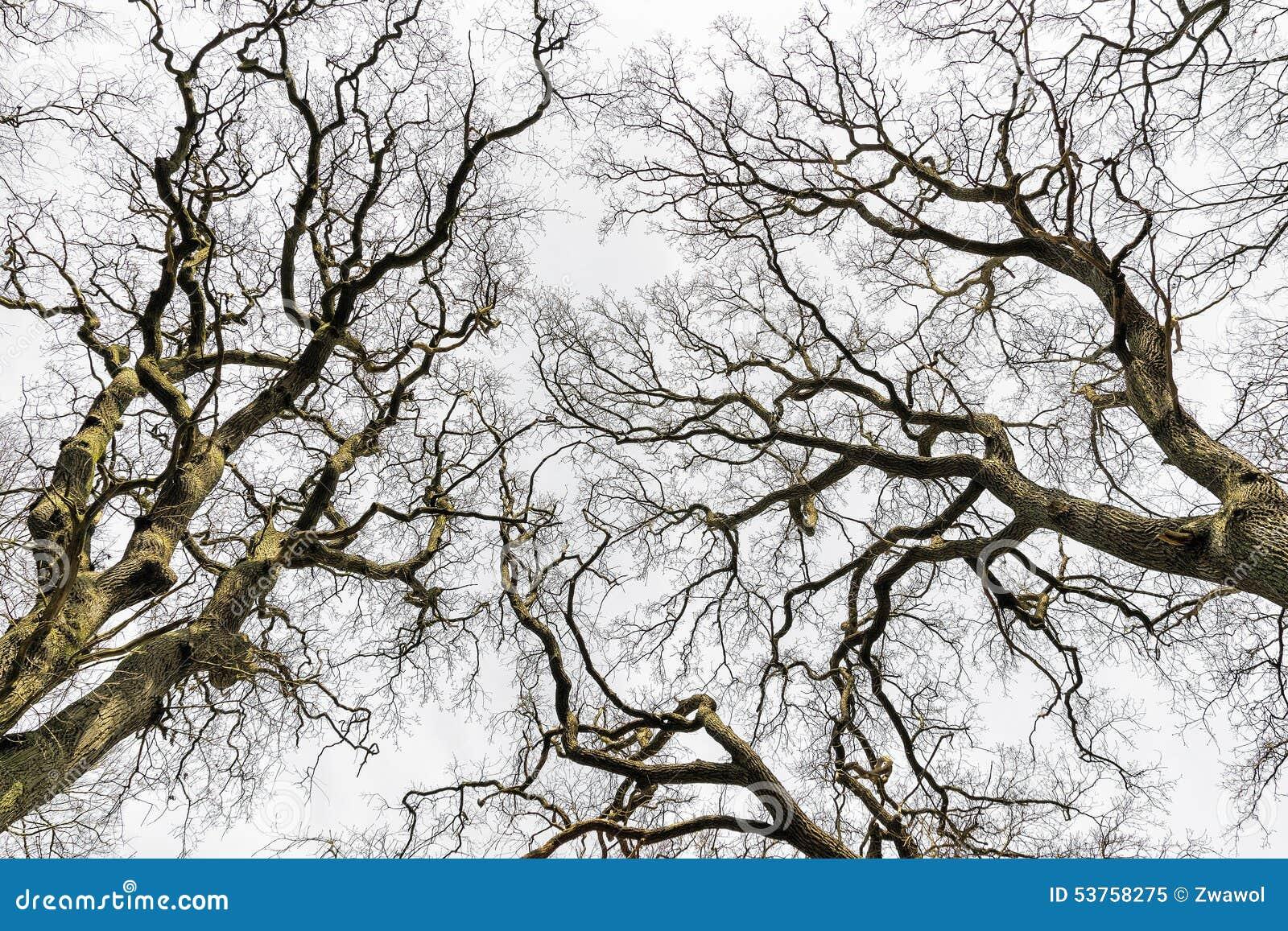 Cimes d 39 arbre sans feuilles photo stock image 53758275 - Arbres sans feuilles ...