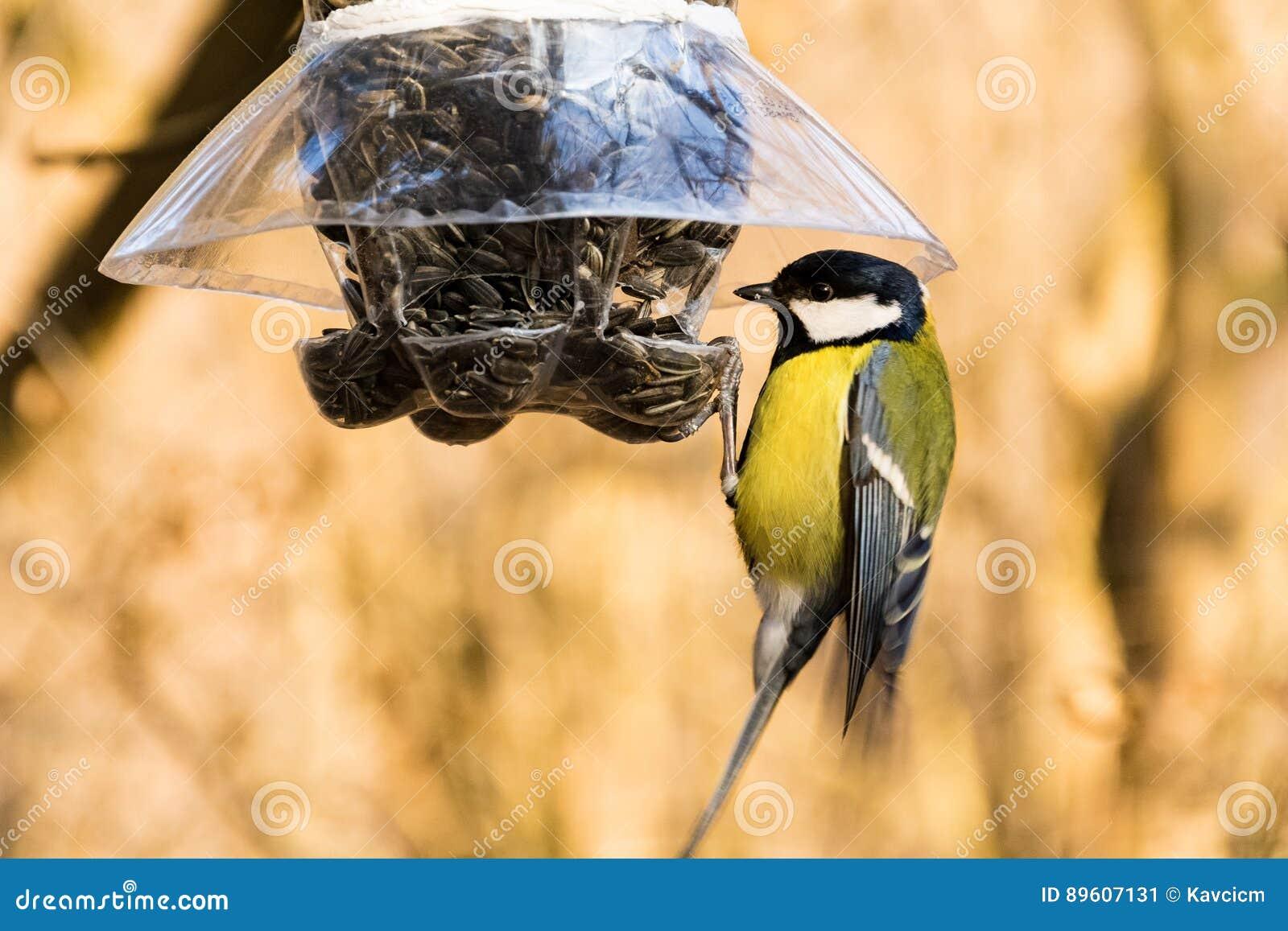 Cinciallegra ad un alimentatore dell uccello