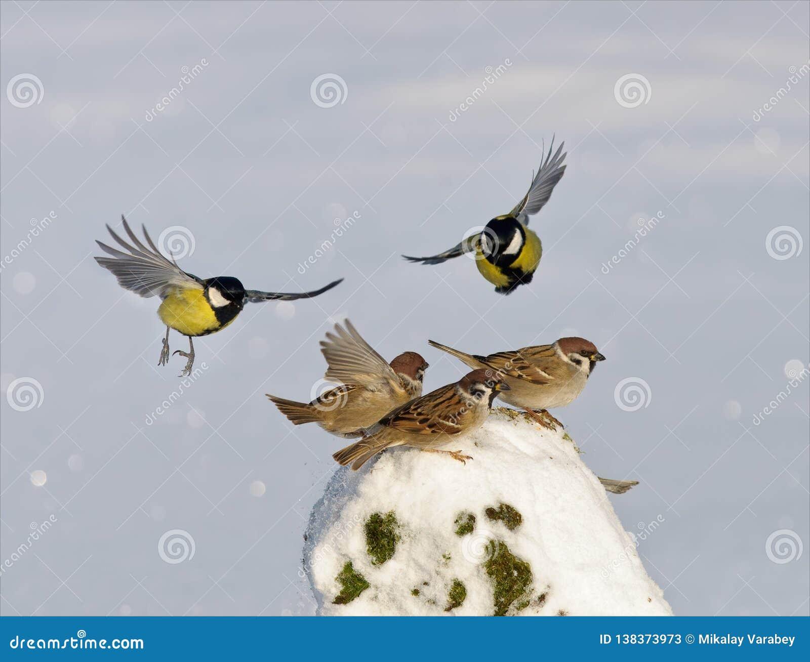 Cinciallegre che attaccano in volo i passeri di albero