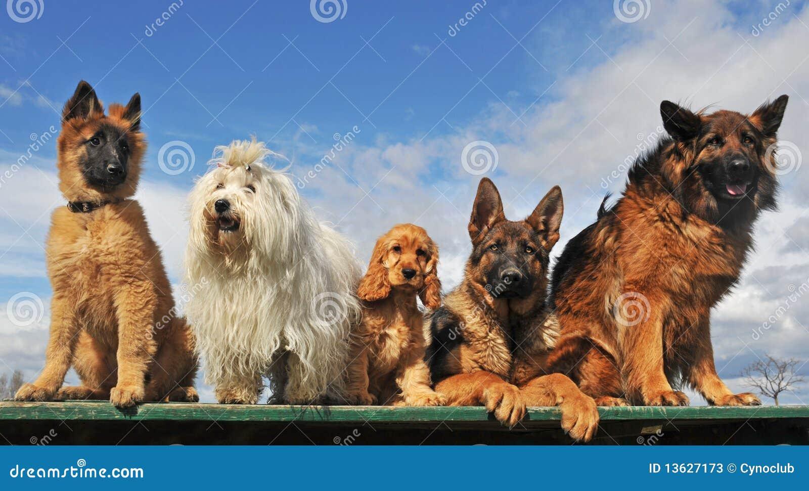 Cinco cães