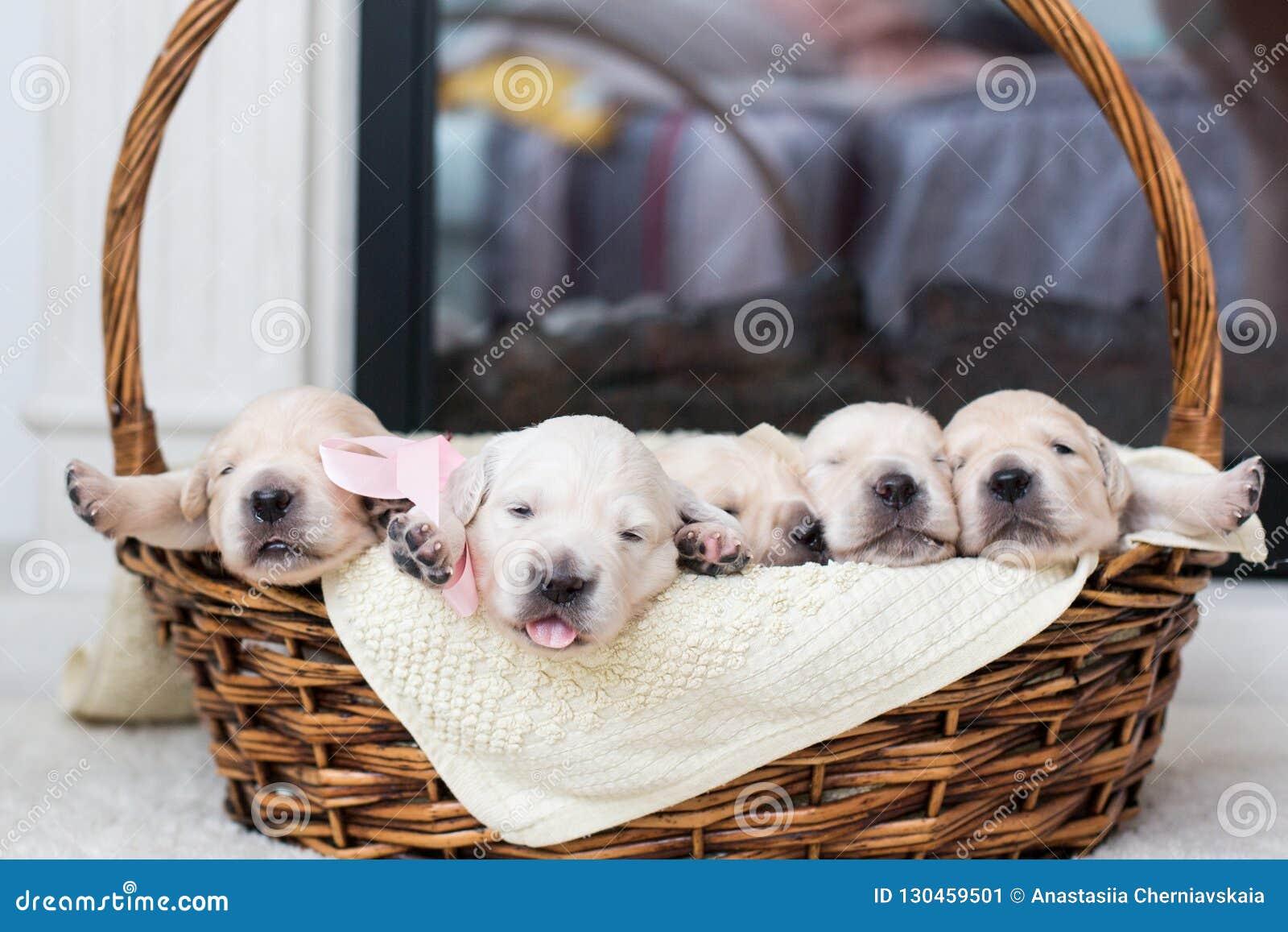 Cinco cachorrinhos adoráveis do golden retriever em uma cesta de vime