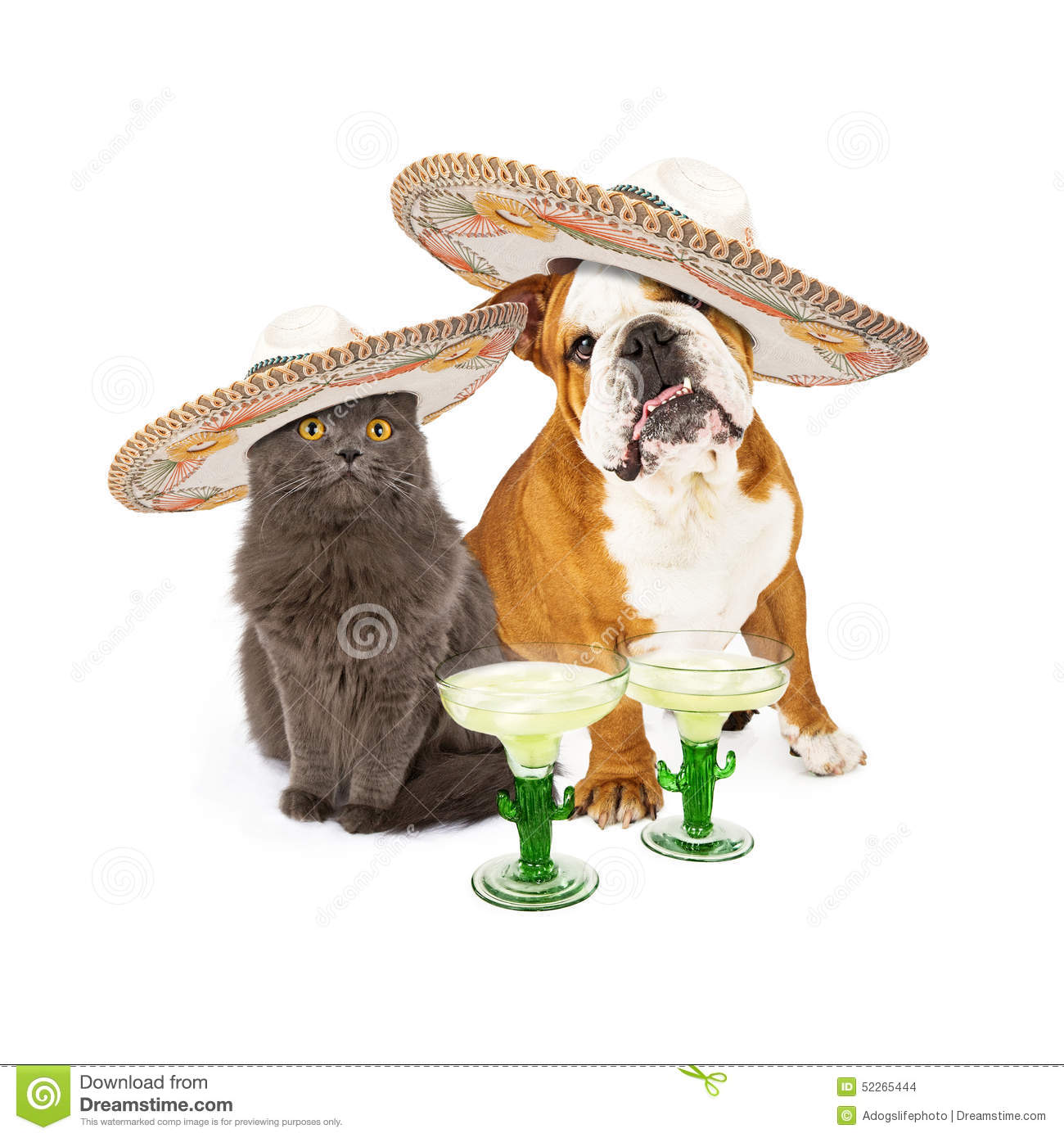 Cute grey cat and bulldog sitting together celebrating Conco De Mayo ...