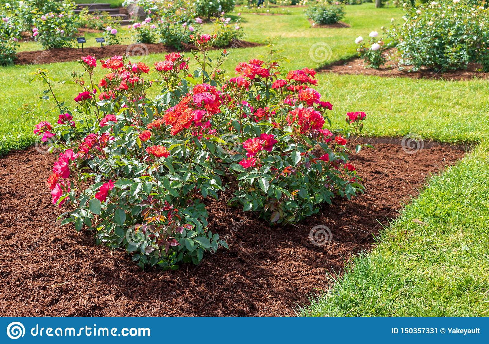 `Cinco de Mayo` rose blooms in a mulched flower bed