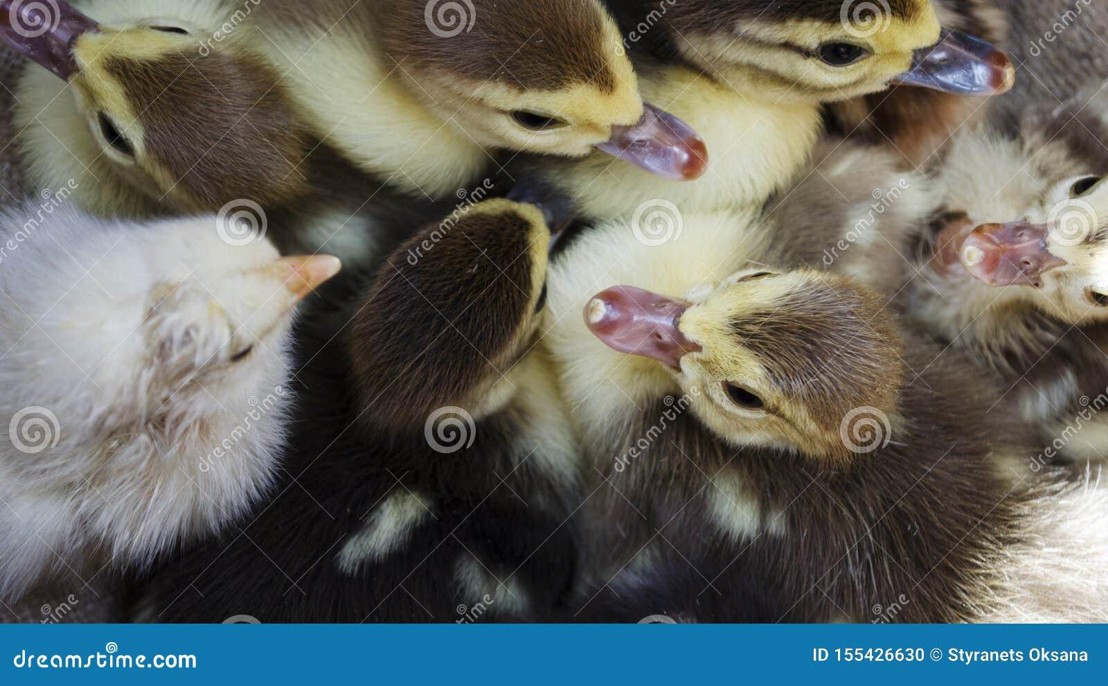 Cinco pequeños anadones divertidos y pollo