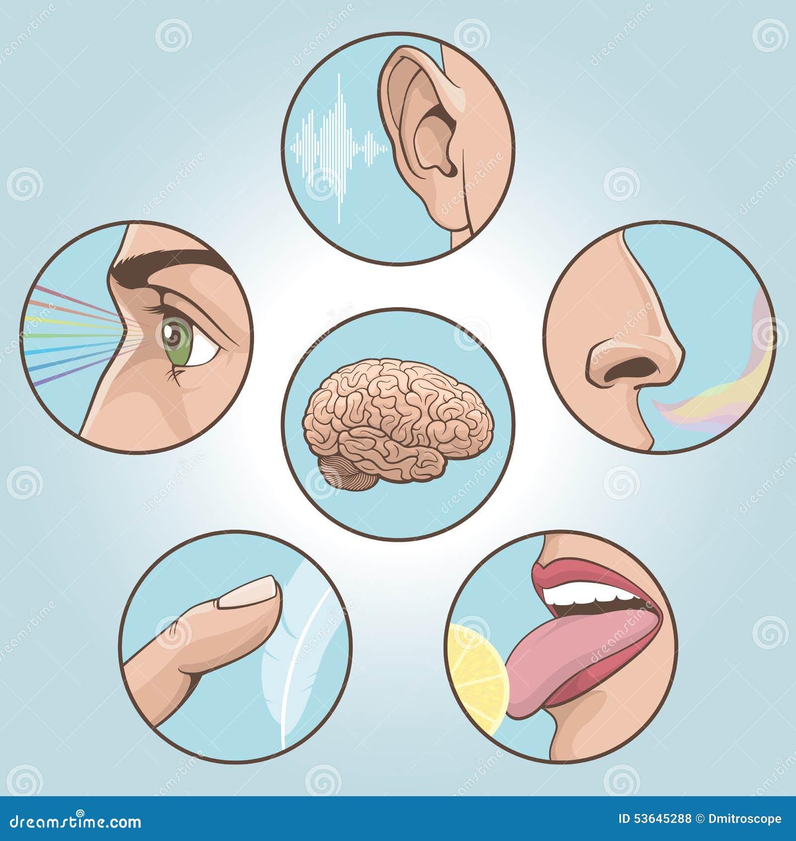Cinco sentidos fijados ilustraci n del vector ilustraci n for Mural de los 5 sentidos