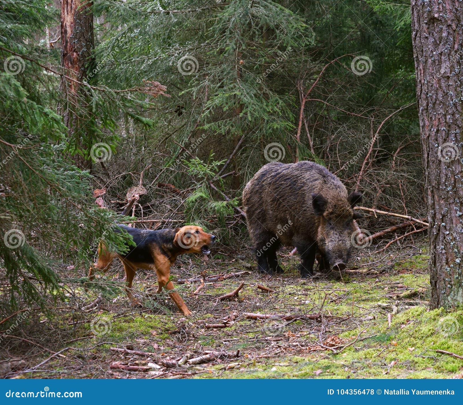 Cinghiale Di Attacco Del Cane Da Caccia Fotografia Stock Immagine