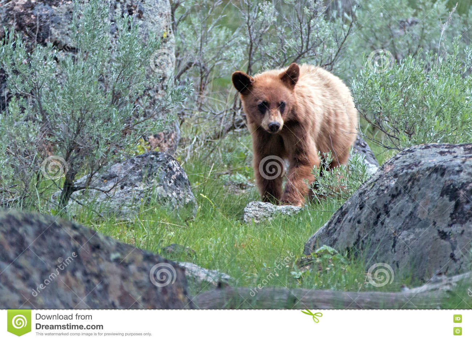 Cinnamon Brown Baby Cub American Black Bear Ursus Americanus In
