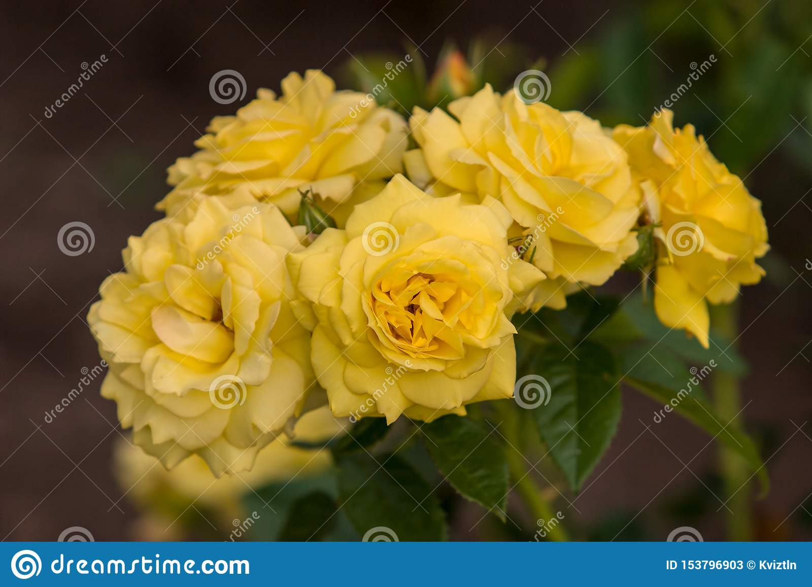 Cinq bourgeons des roses jaunes de fleurs sur un buisson Foyer s?lectif