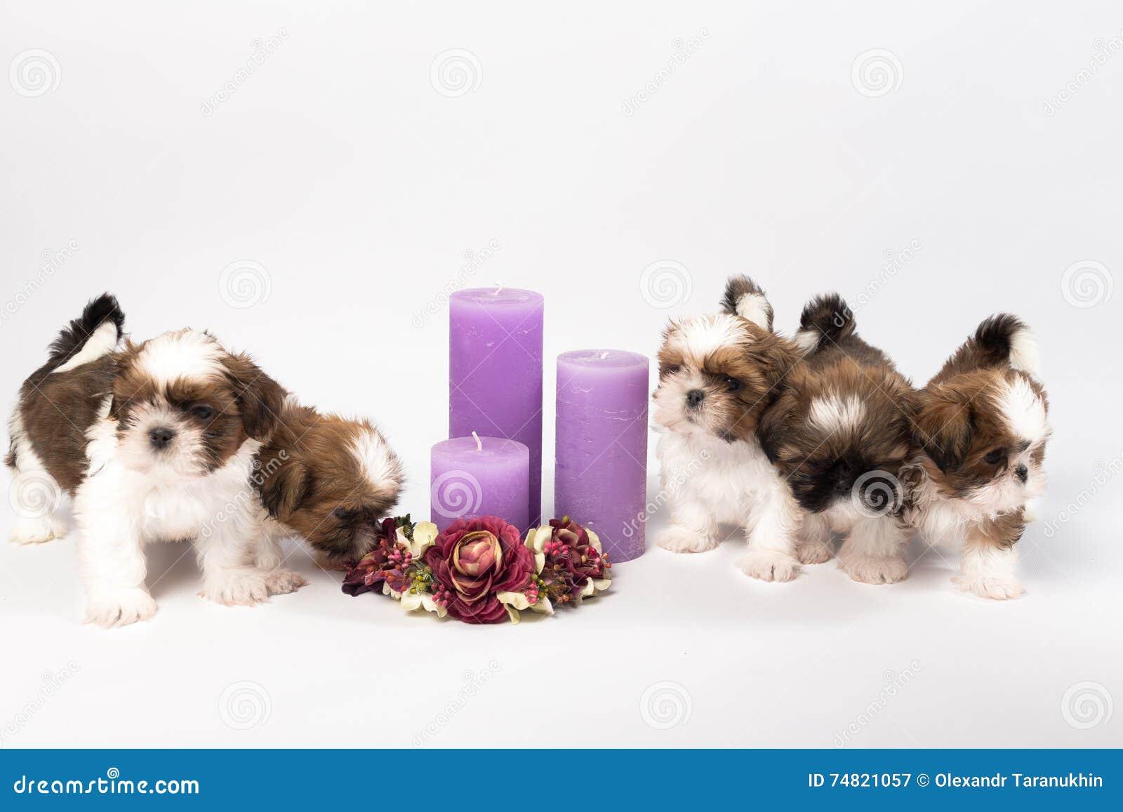 Cinq chiots mignons de shih-tzu avec des bougies de vacances