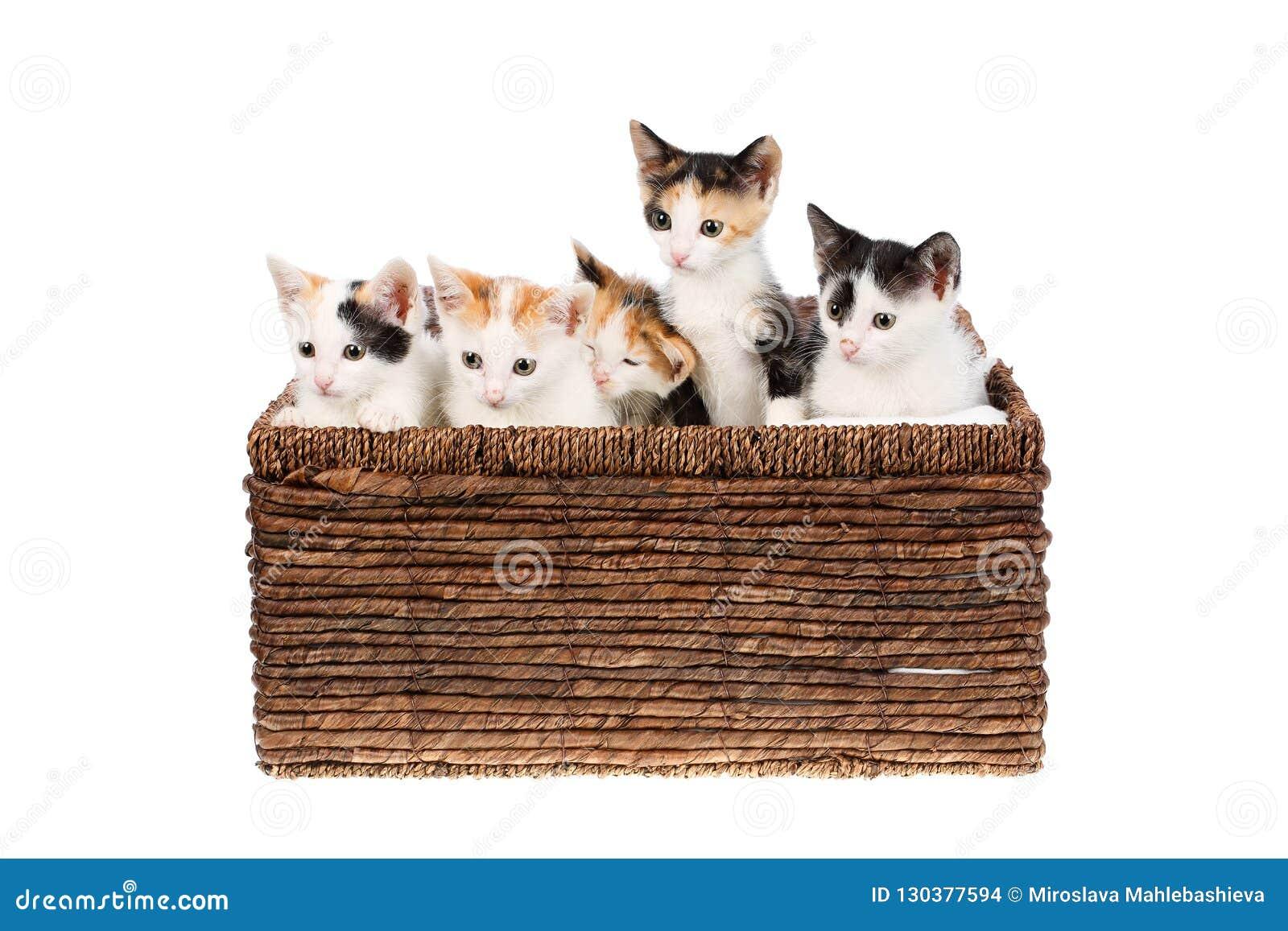 Cinq deux mois mignons et chatons drôles de calicot se reposant dans un panier en osier, d isolement sur le fond blanc