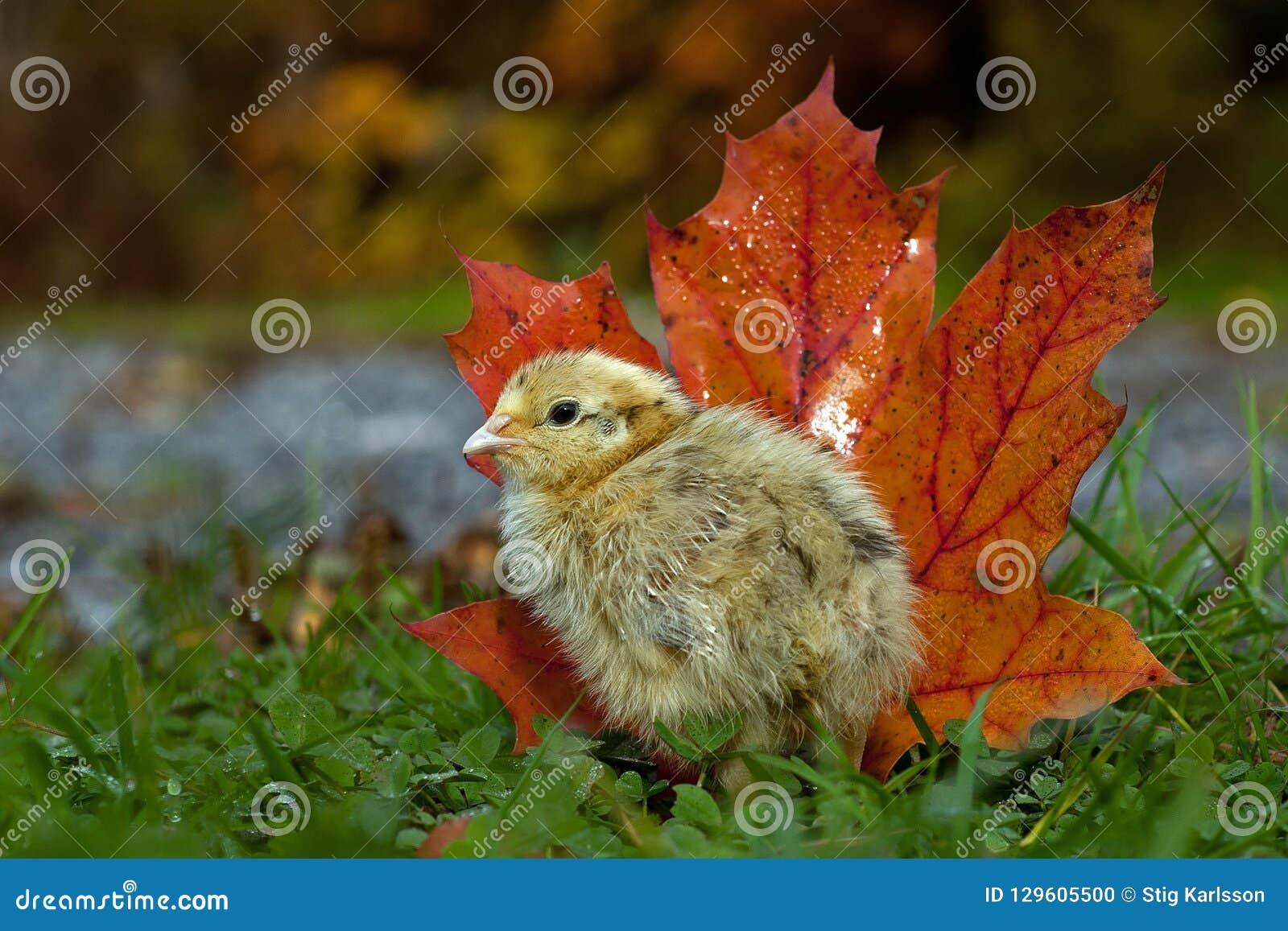 Cinq jours cailles, cognassier du Japon de Coturnix La position à côté d un érable orange part en automne