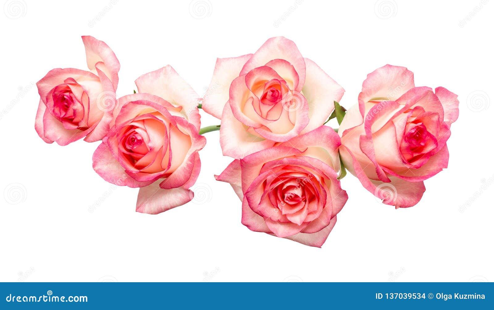 Cinq roses roses sur un fond blanc, belles roses fraîches