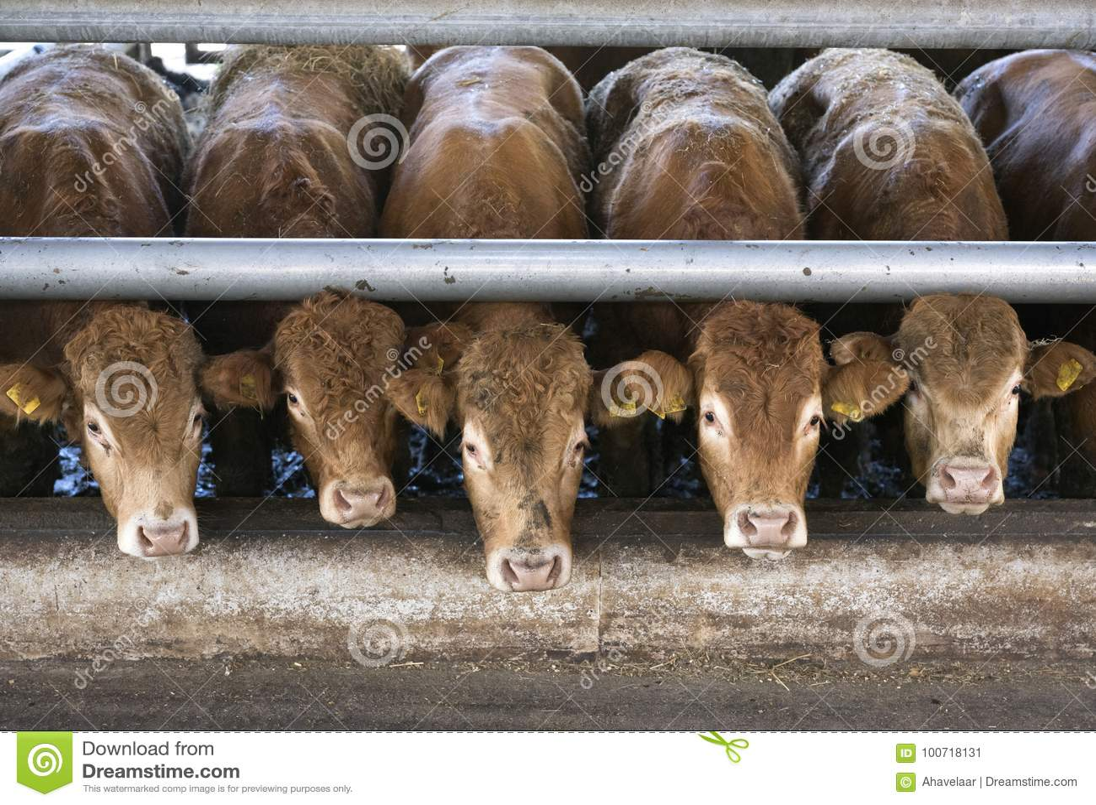 Cinque vitelli del Limousin aspettano l alimento dentro il granaio sull azienda agricola organica i