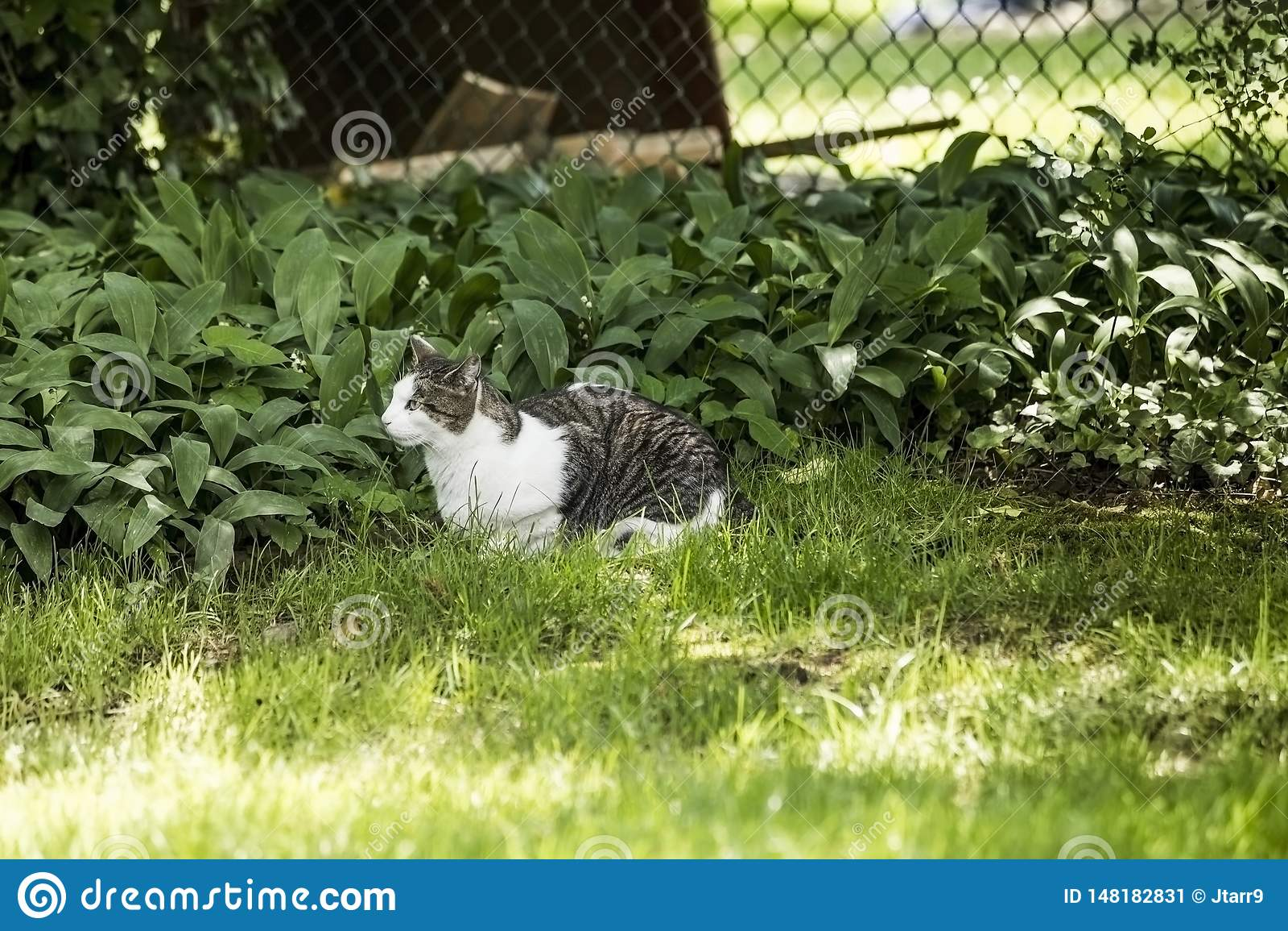 Cinza e que Cat Laying na grama verde que olha a rapina