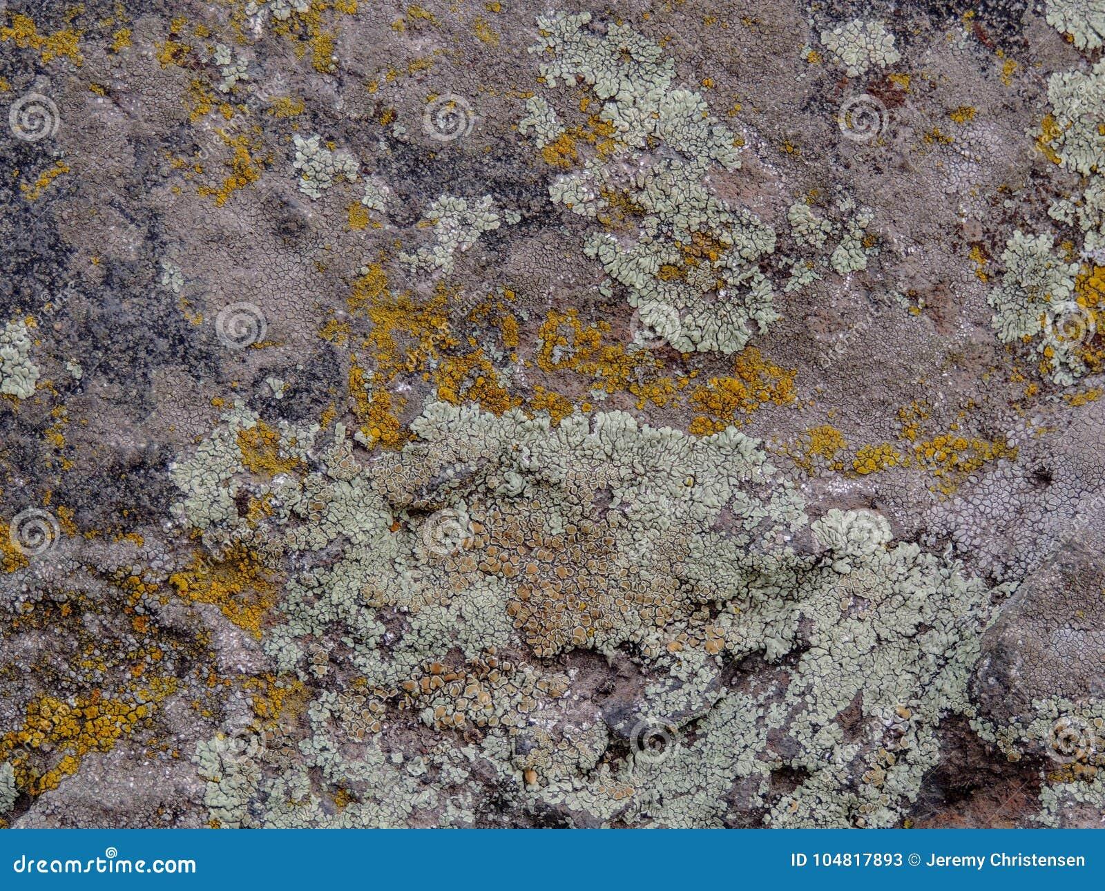 Cinzento, verde, preto, líquene na rocha, combinação simbiótico de um fungo com algas ou bactéria, fim acima, macro na queda no Y