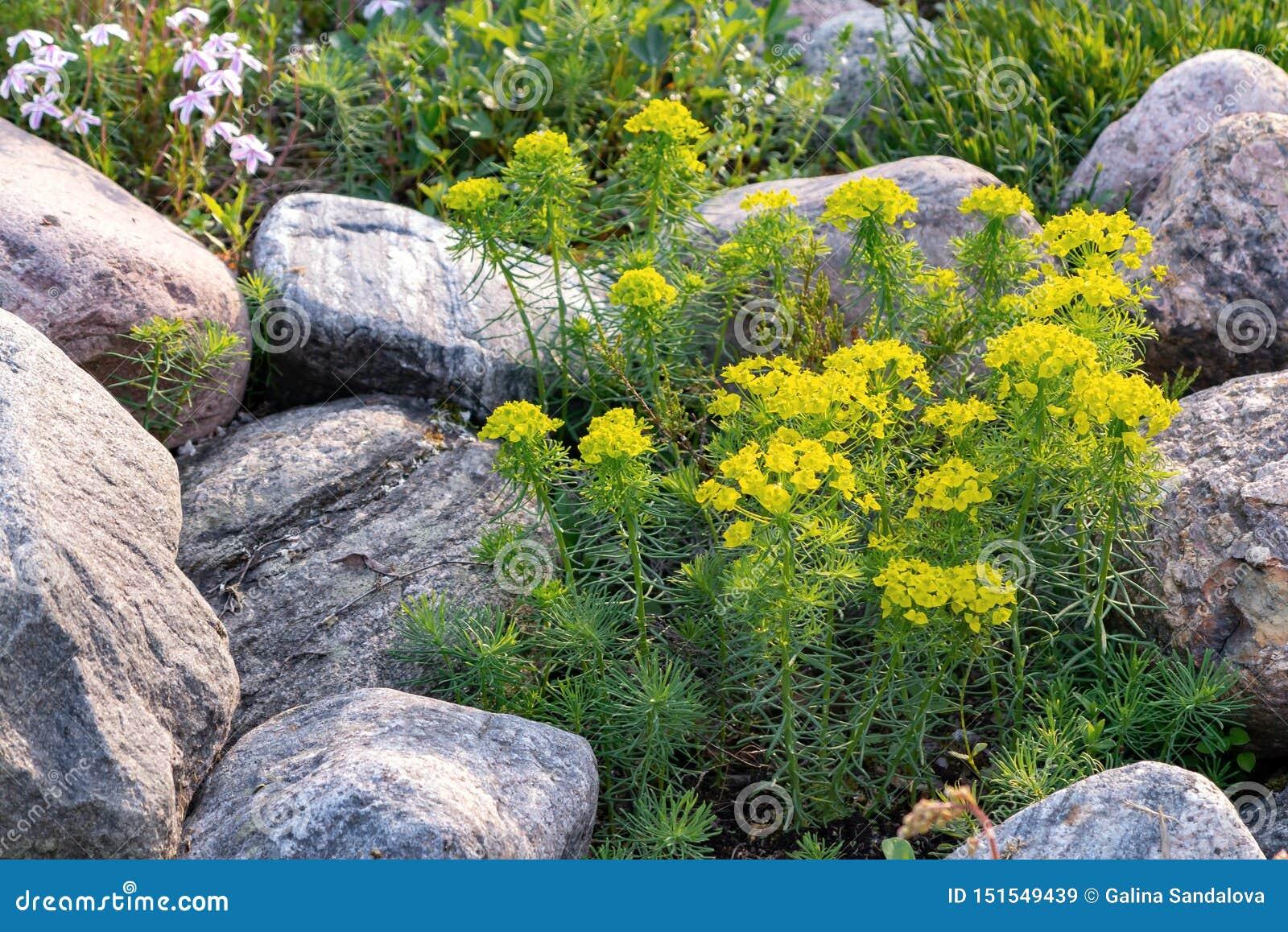 Cipreste de florescência do eufórbio e outras flores em um jardim ornamental pequeno no jardim do verão