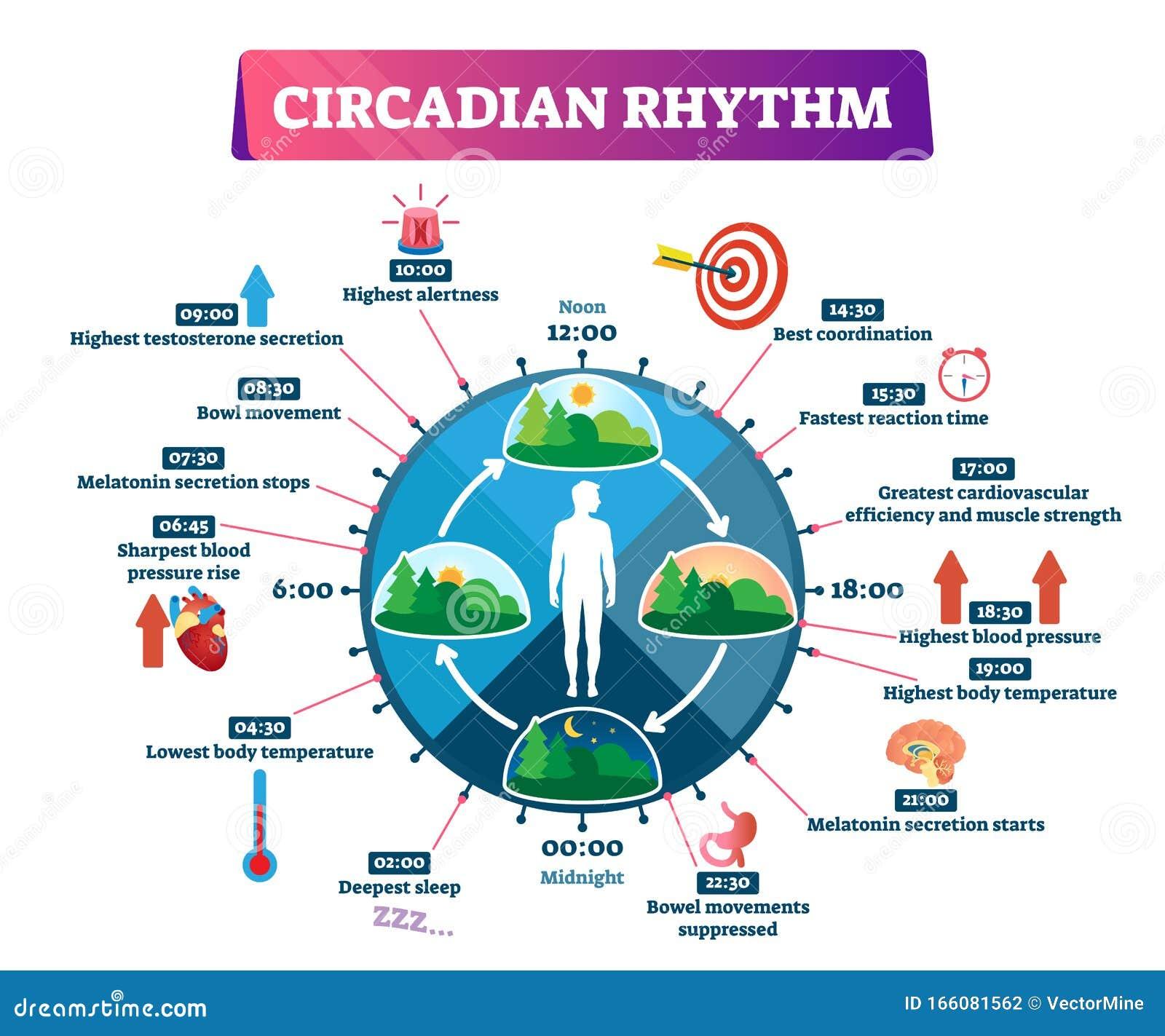 [Resim: circadian-rhythm-vector-illustration-lab...081562.jpg]