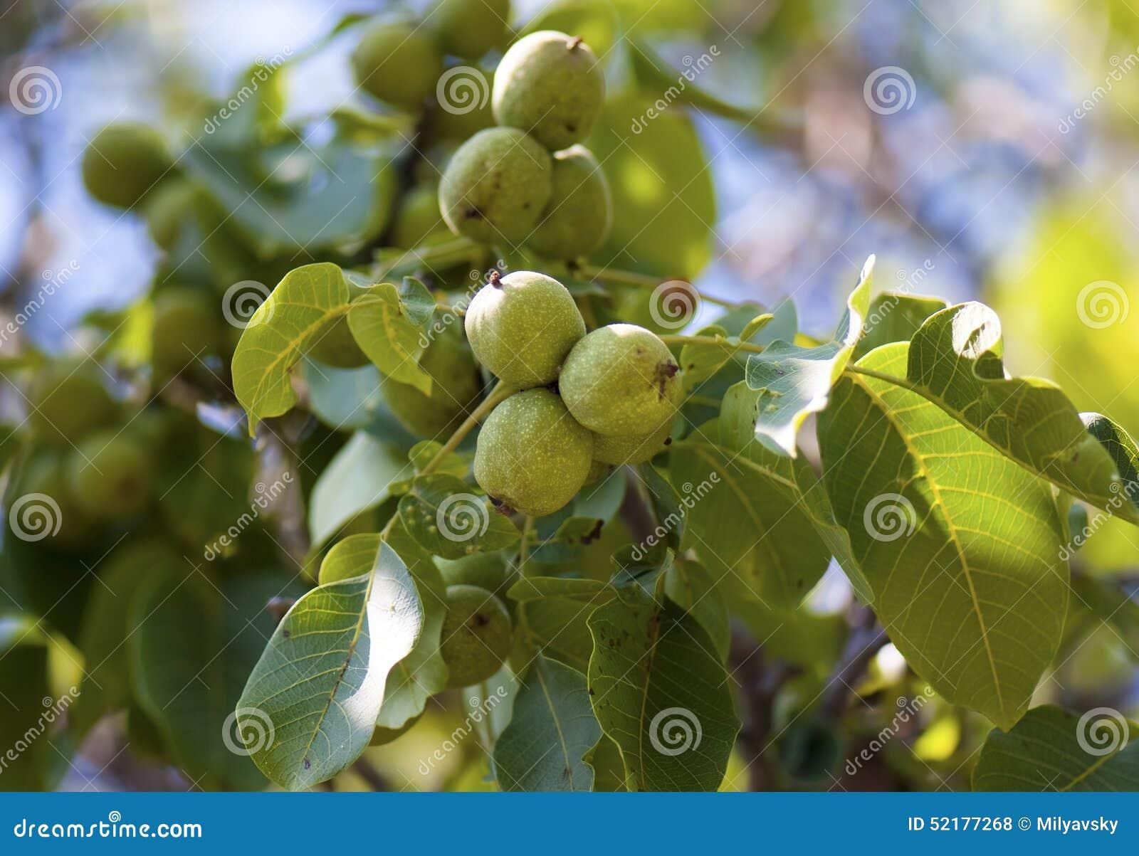 Circassian valnötträd i soligt ljus