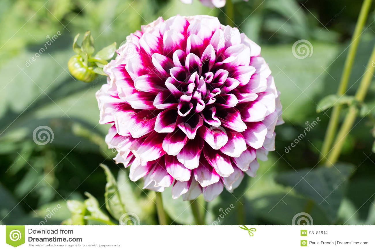 Circular purple and white dahlia flower in full bloom stock photo download circular purple and white dahlia flower in full bloom stock photo image of outdoors izmirmasajfo