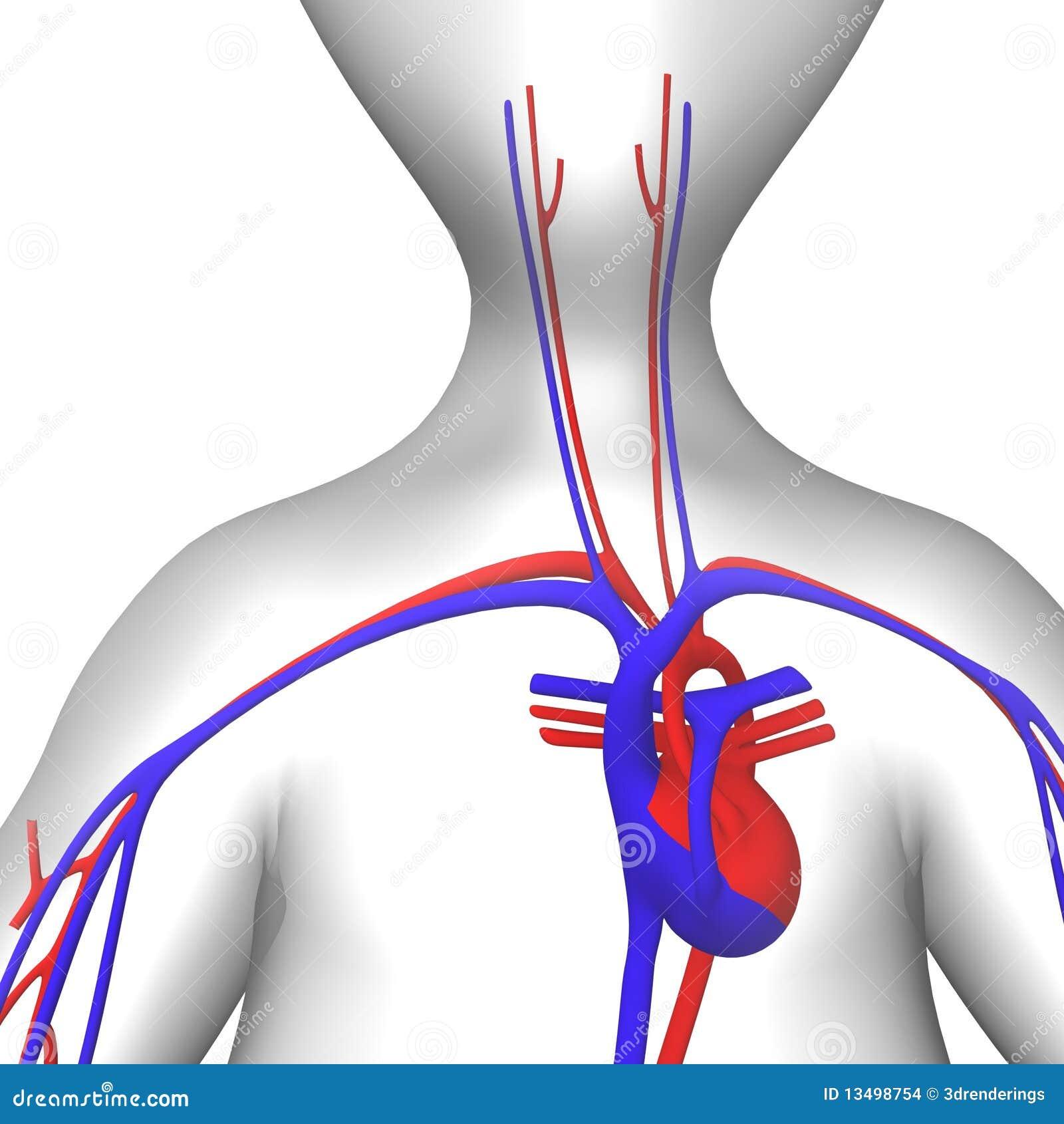 Circulatory Stock Images Image 13498754