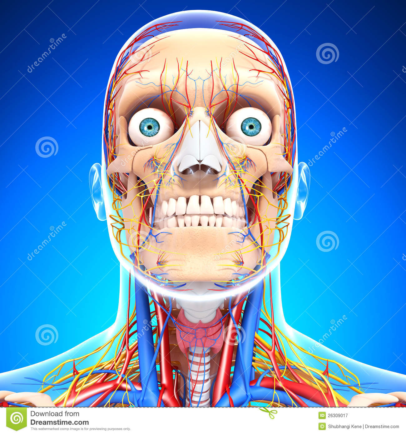 Maxresdefault as well Circulatory Nervous System Blue Eyes additionally Voice Generation besides Chordae Tendineae Function also The Human Body Worksheets X. on human body nervous system diagram