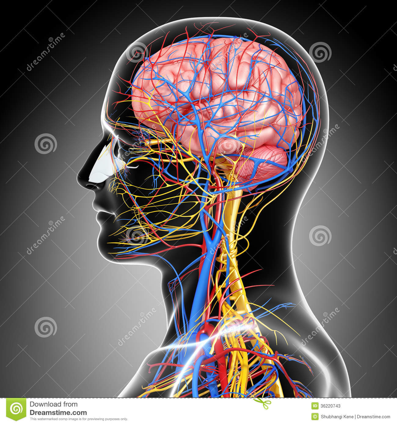 Nervous System Diagram Hebrew moreover D Aad F Fc B A Eb Circuit Blood Vessels also Human Brain Underside View as well Ca C C D A C also Circulatory Nervous System Head D Art Illustration. on human body nervous system diagram