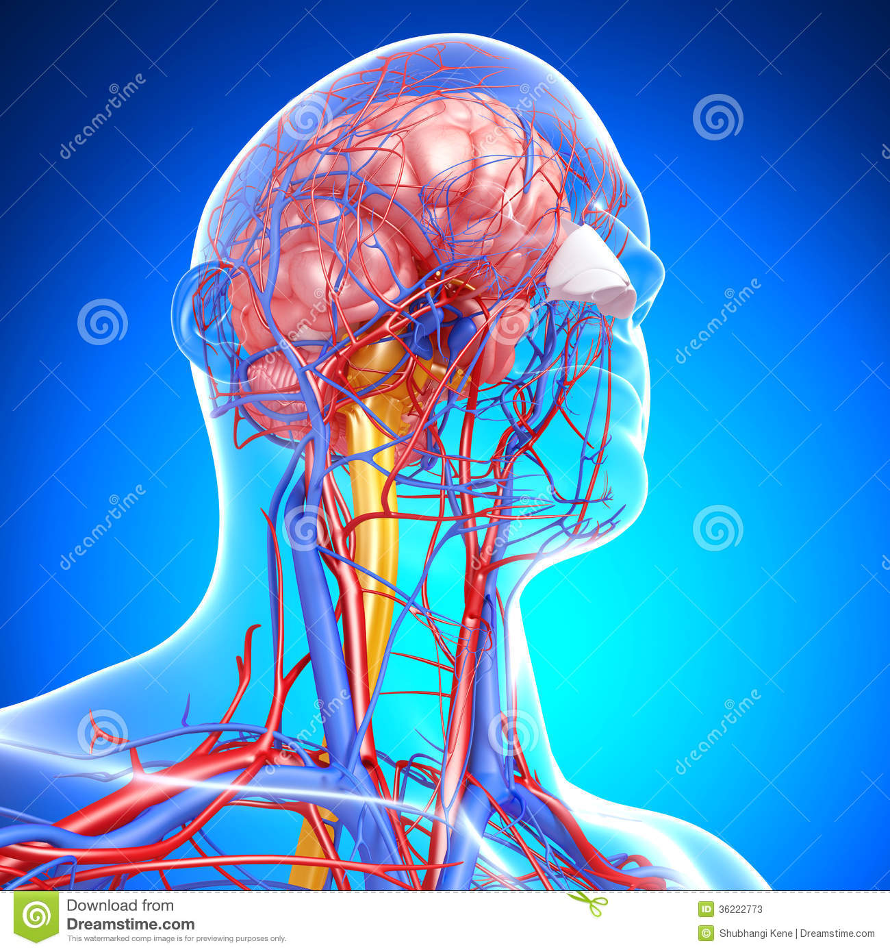 Circulatory And Nervous System Of Head Stock Photos