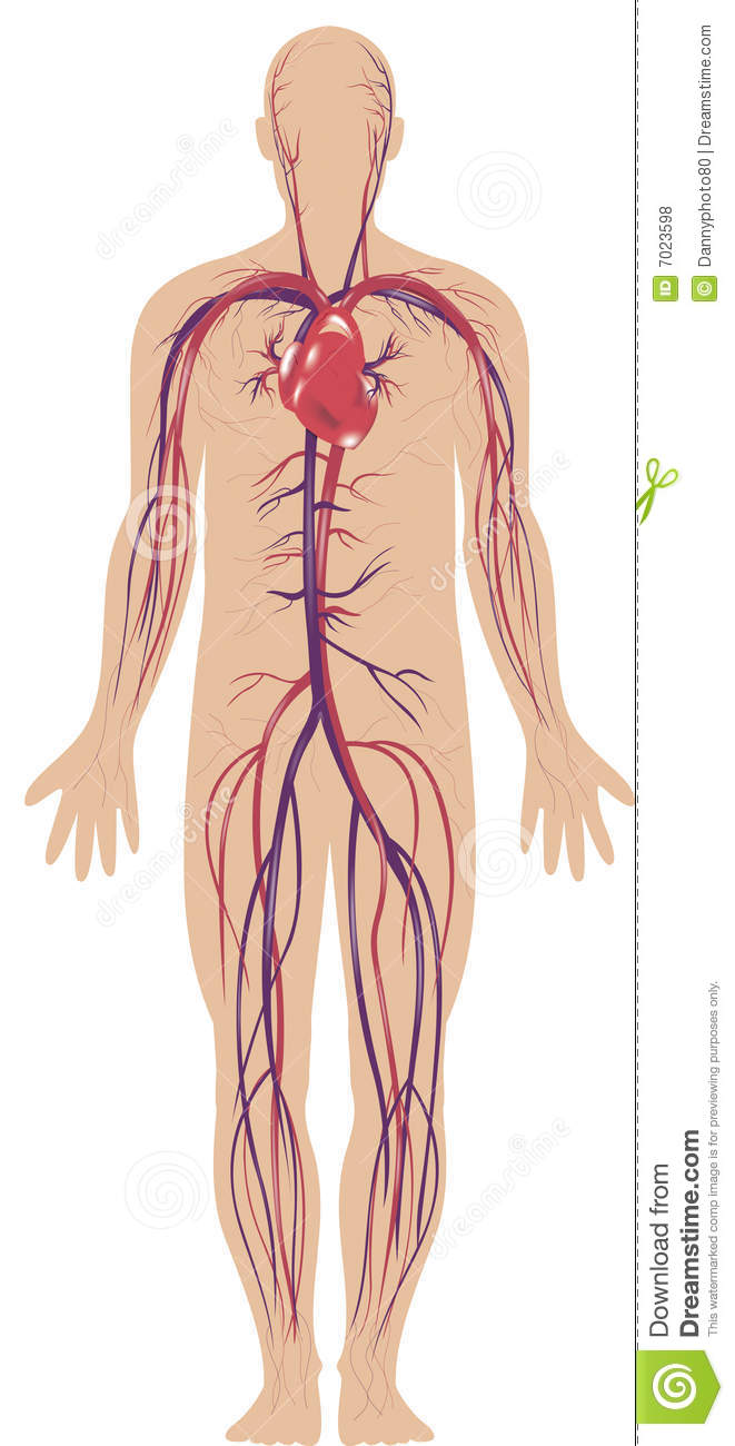 circulatory system stock illustration. illustration of vein - 7023598