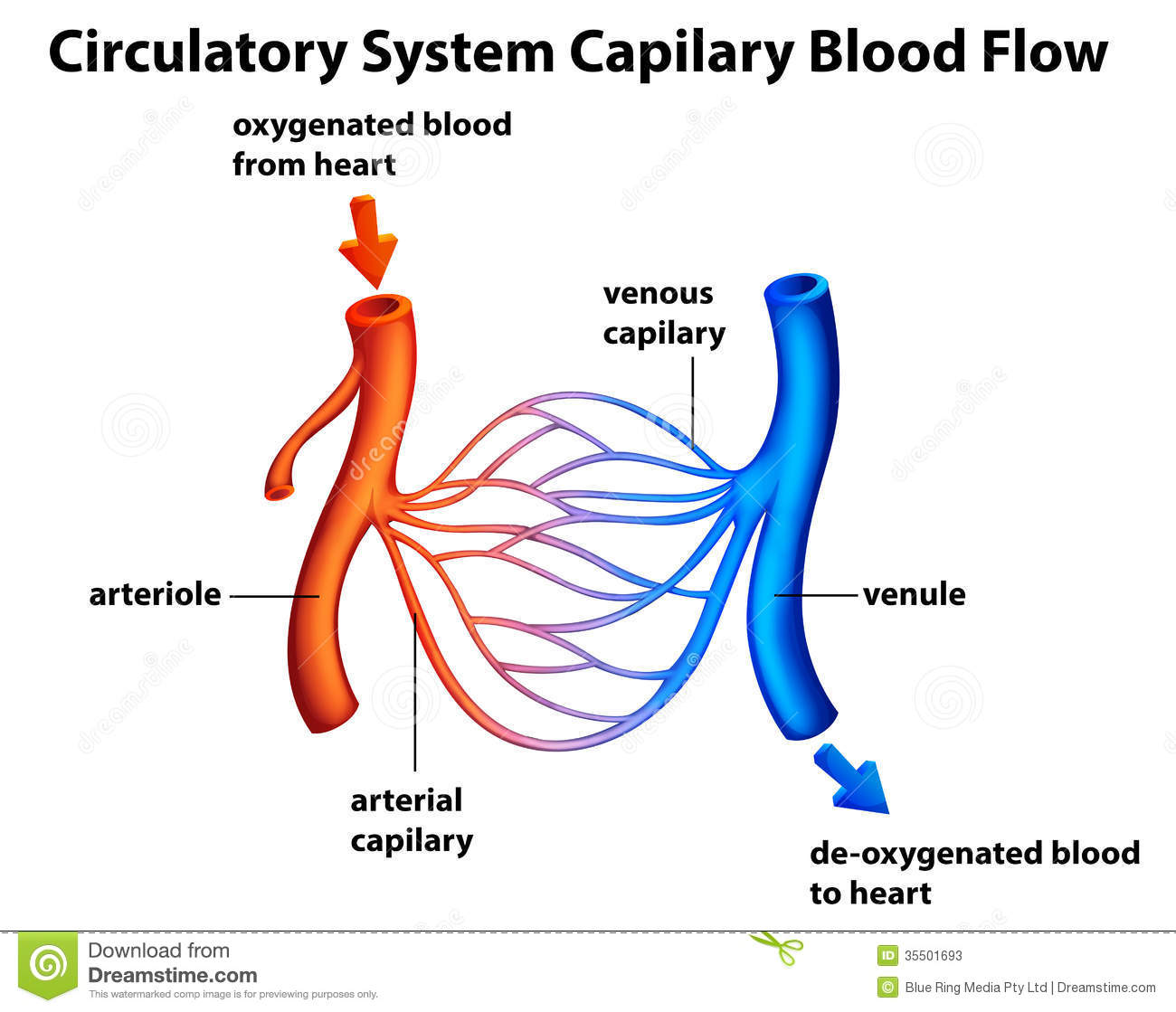 Circulatory system capilary blood flow stock vector circulatory system capilary blood flow pooptronica Choice Image