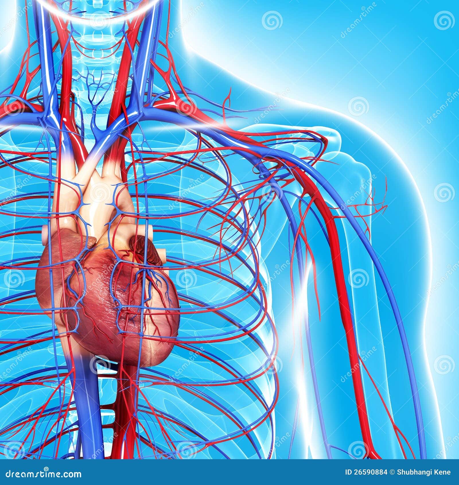 Circulatory system of half body highlights heart