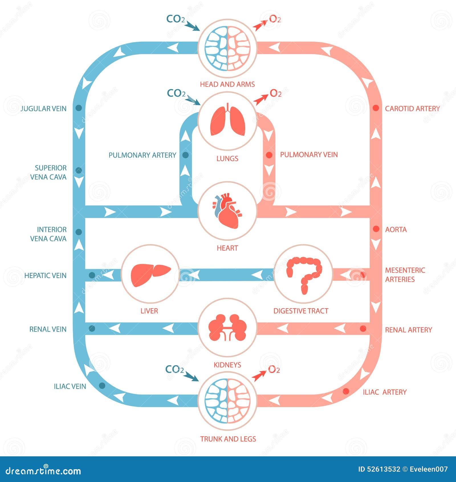 Circulatory System Stock Vector Illustration Of Illustration 52613532