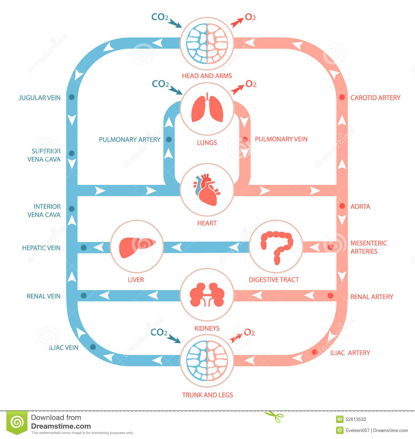 Circulatory System Stock Vector Image 52613532