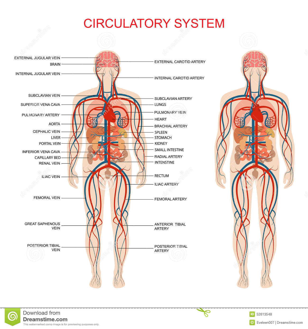 Circulatory system stock vector. Illustration of illustration - 52613548