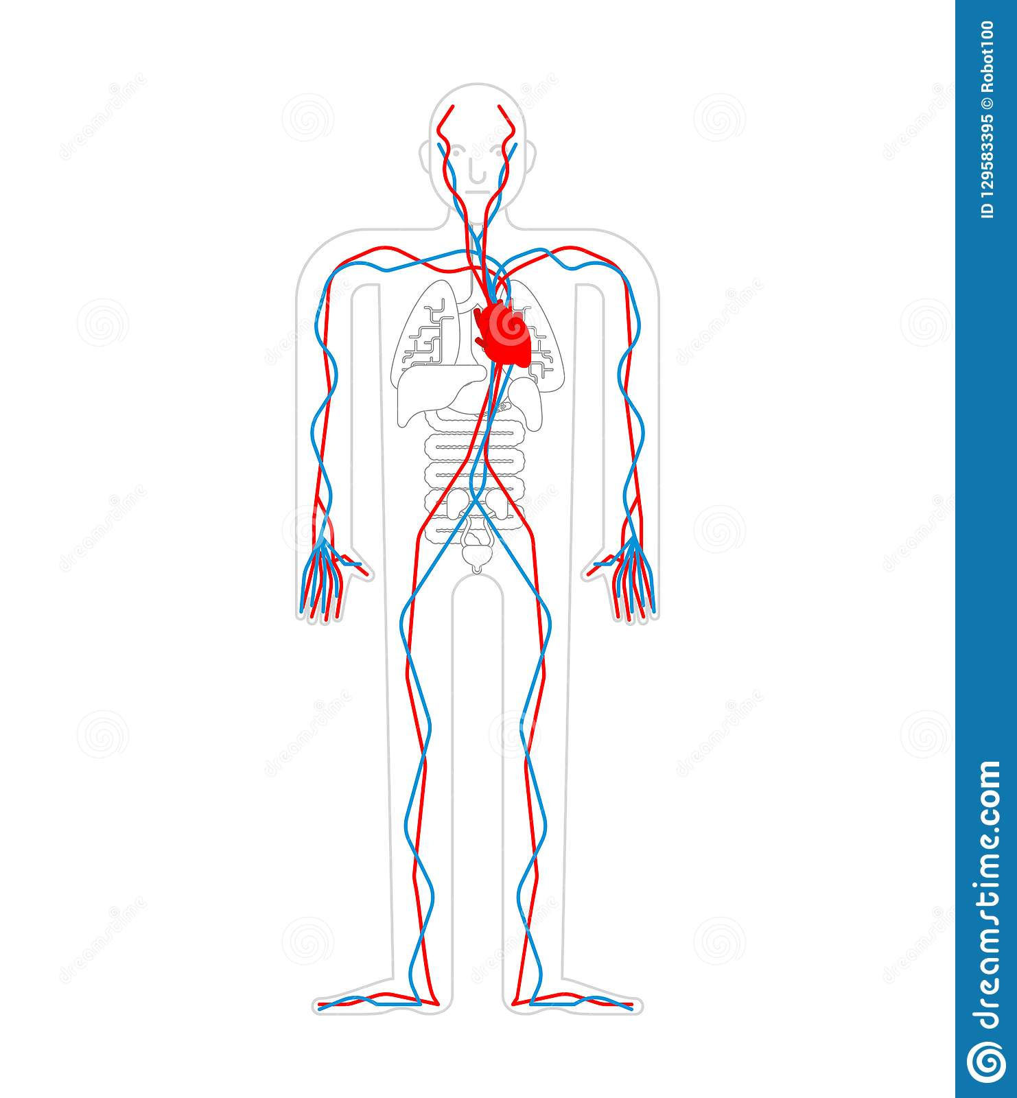 Circulatory System Heart And Blood Vessels Aorta And