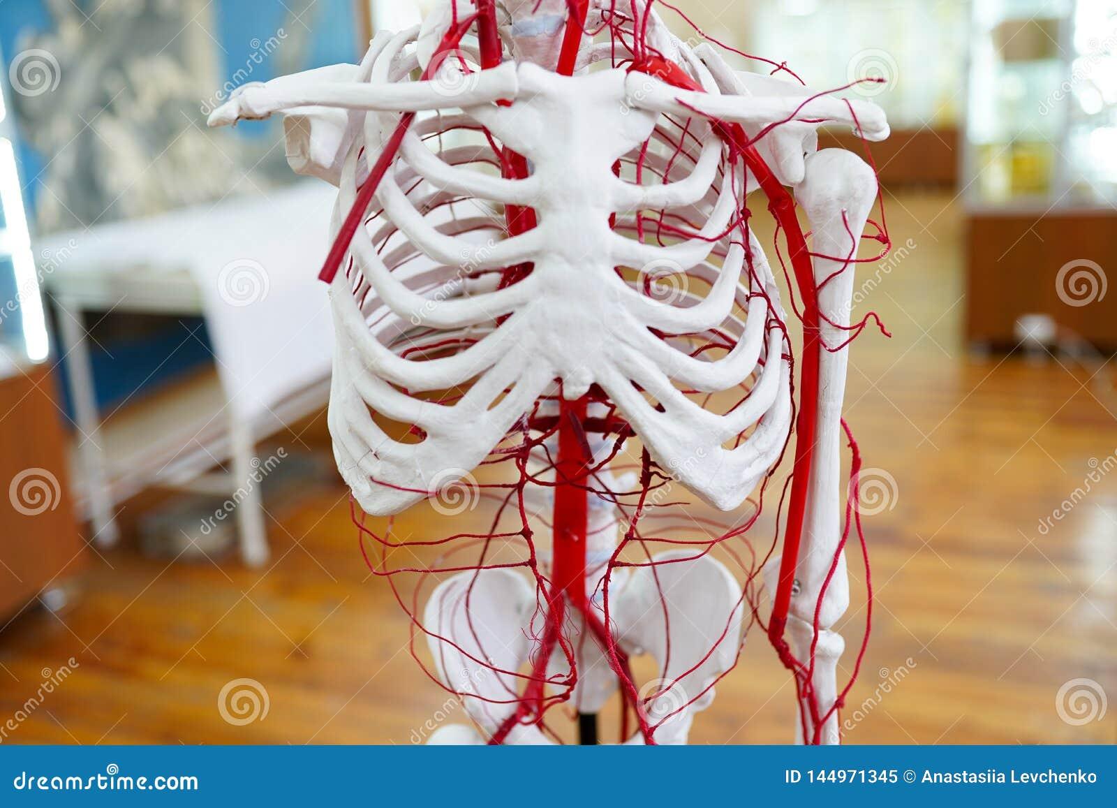 Circulatory system human anatomy skeleton