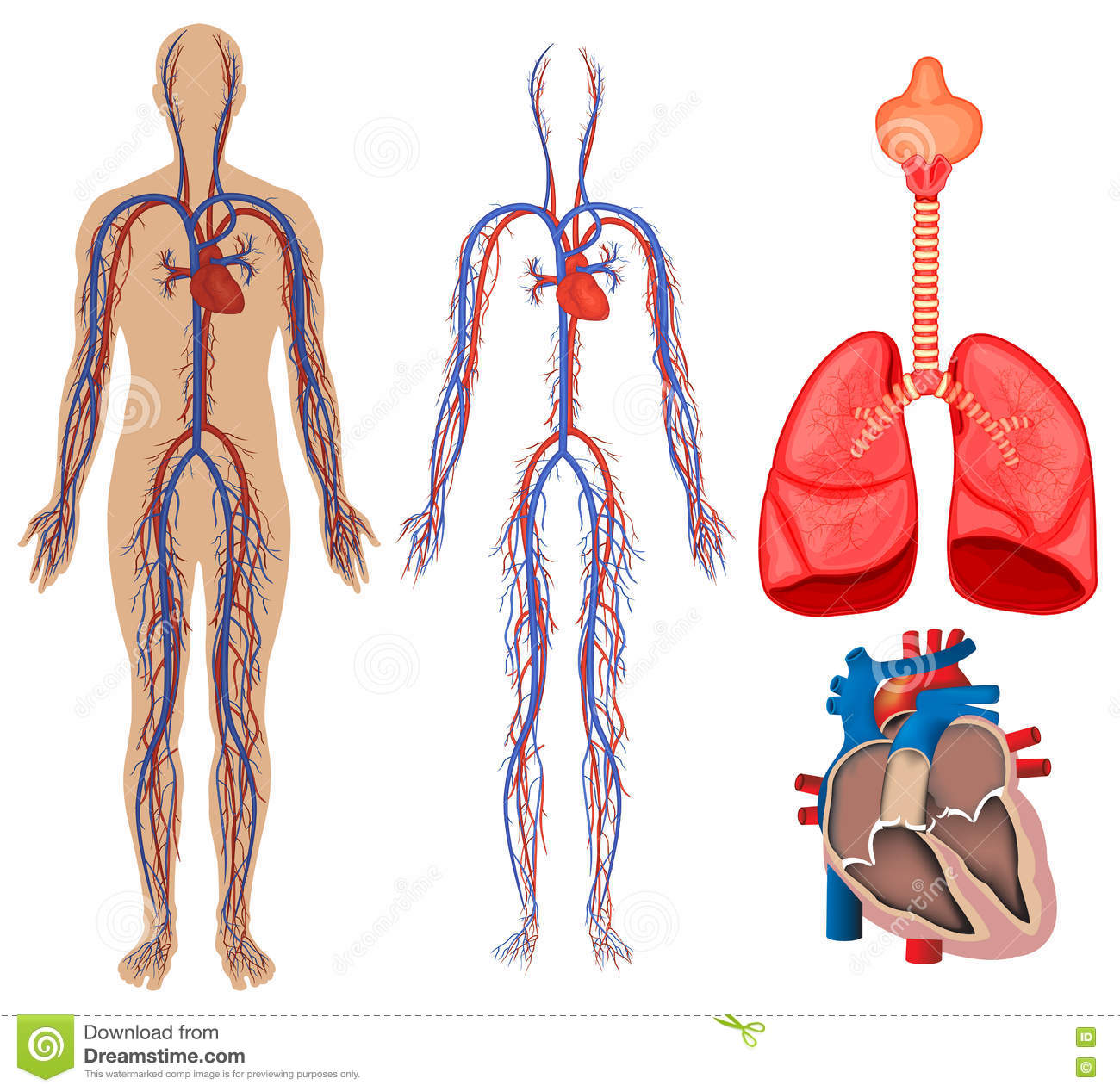circulatory system stock vector image 53503540 circulatory system in human body stock photos