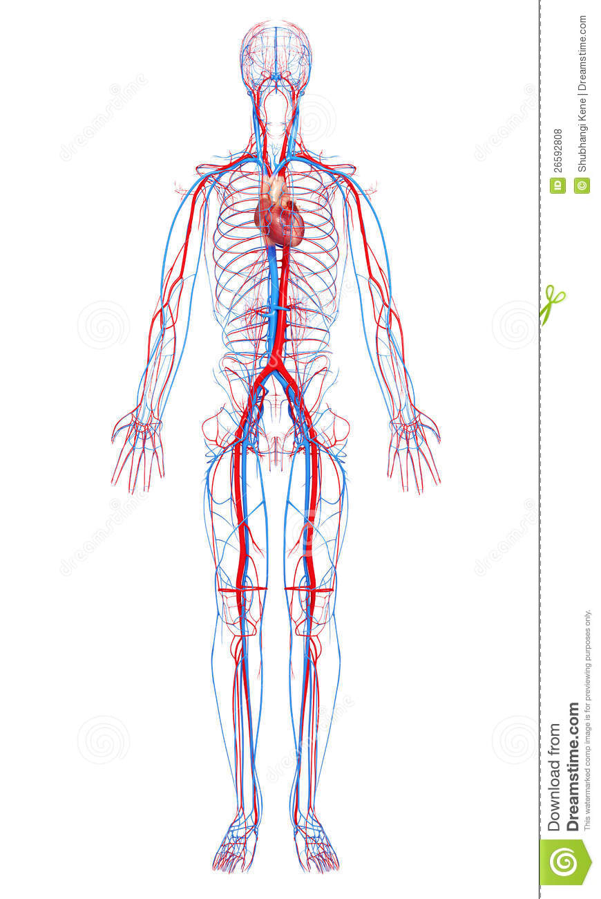 Circulatory System Of Male Body Stock Illustration Illustration Of