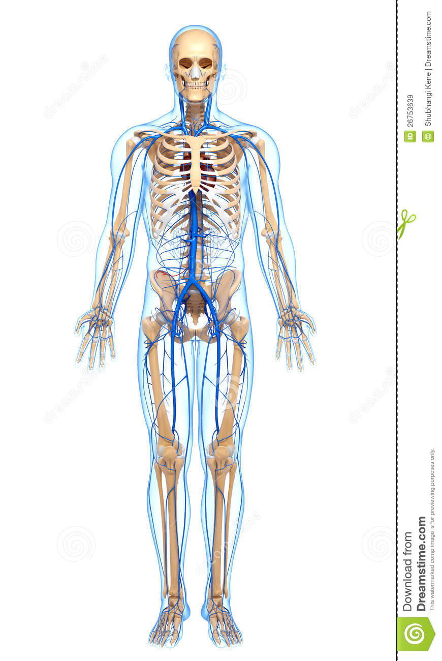 Circulatory System Of Male Body With Help Of Veins Stock